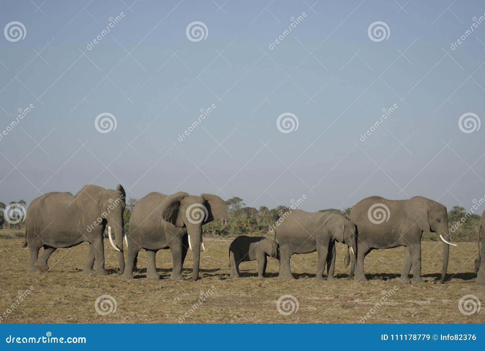 Loxodonta Africana Degli Elefanti Africani, Ndovu O Tembo E