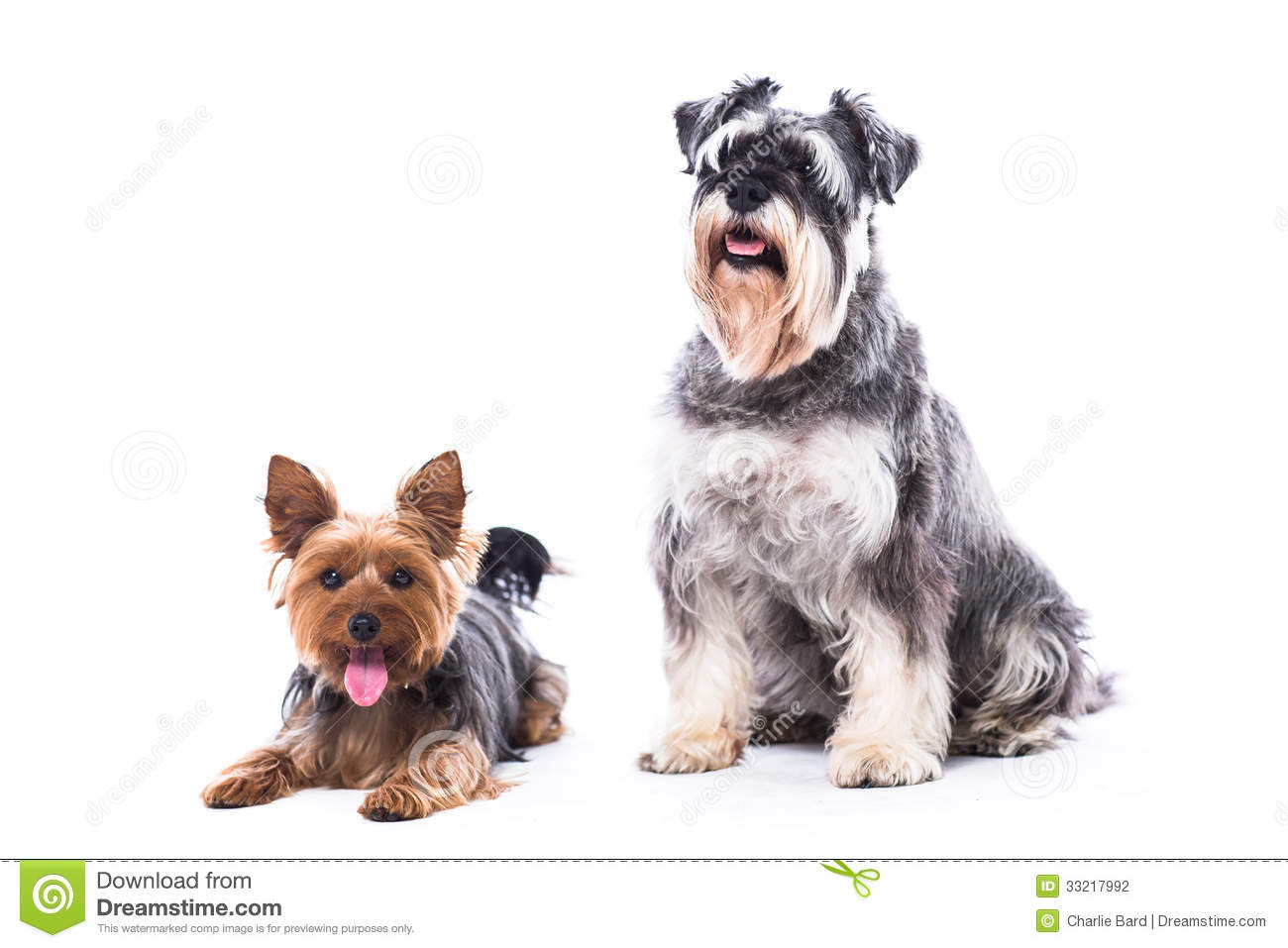 Two adorable alert loyal family dogs a yorkshire terrier and a