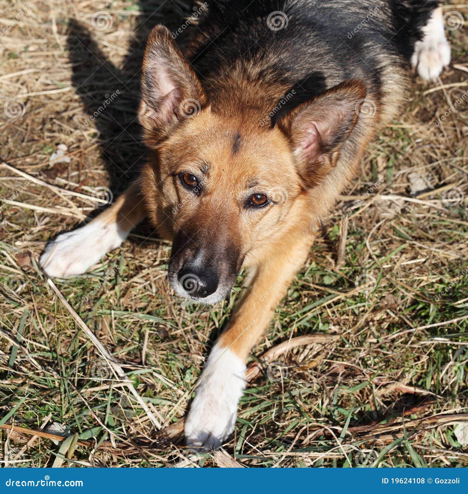 Loyal German Shepherd Dog
