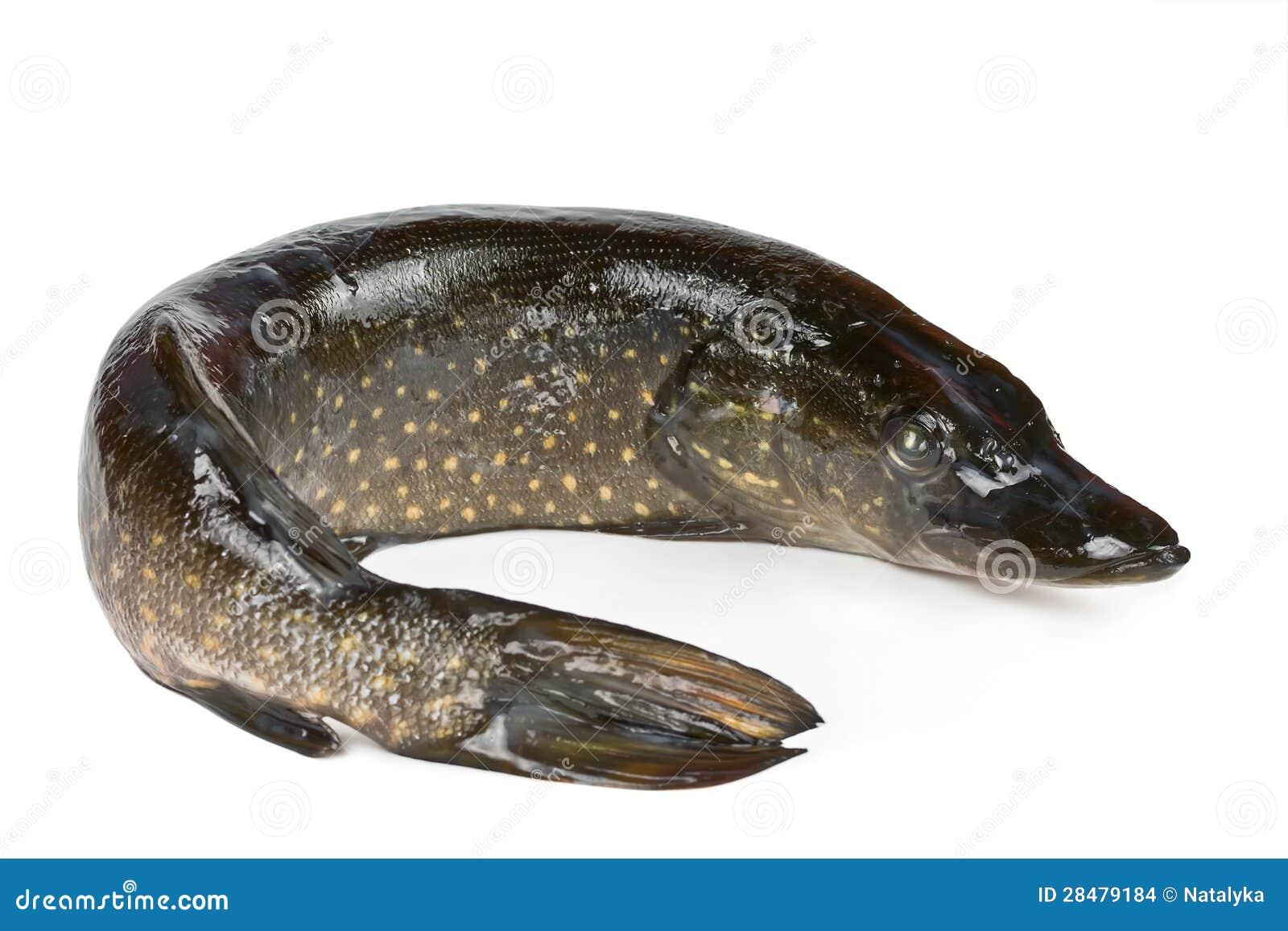 Luccio dei pesci d 39 acqua dolce del fiume immagini stock for Pesci acqua dolce commestibili