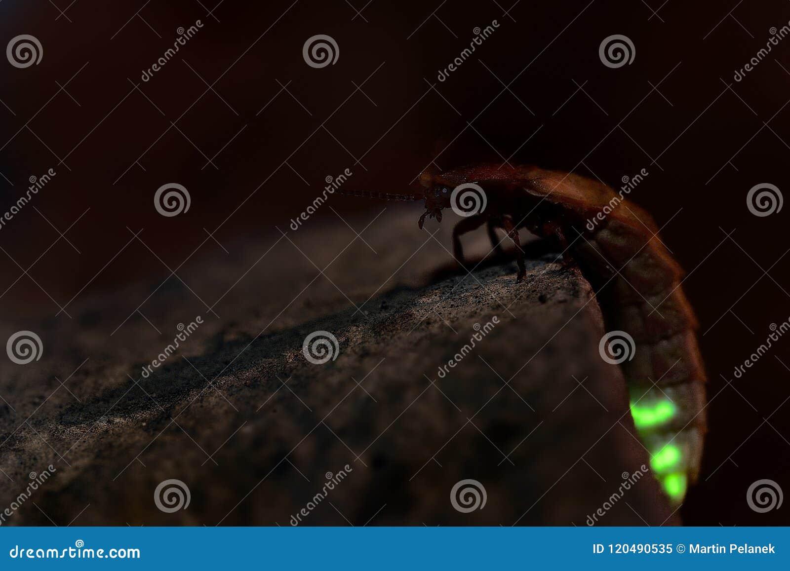 Lucciola - femmina nella notte, mezzanotte del noctiluca di Lampyris in Croazia, maschi attiranti