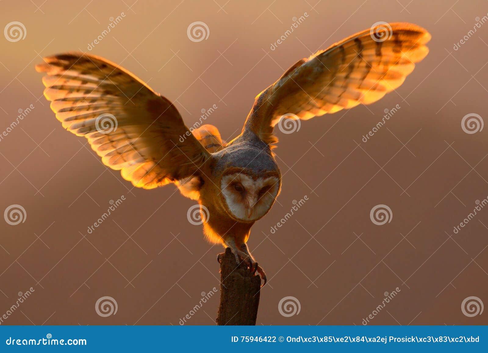 Luce di sera con l uccello con le ali aperte Scena di azione con il gufo Tramonto del gufo Atterraggio dei barbagianni con le ali
