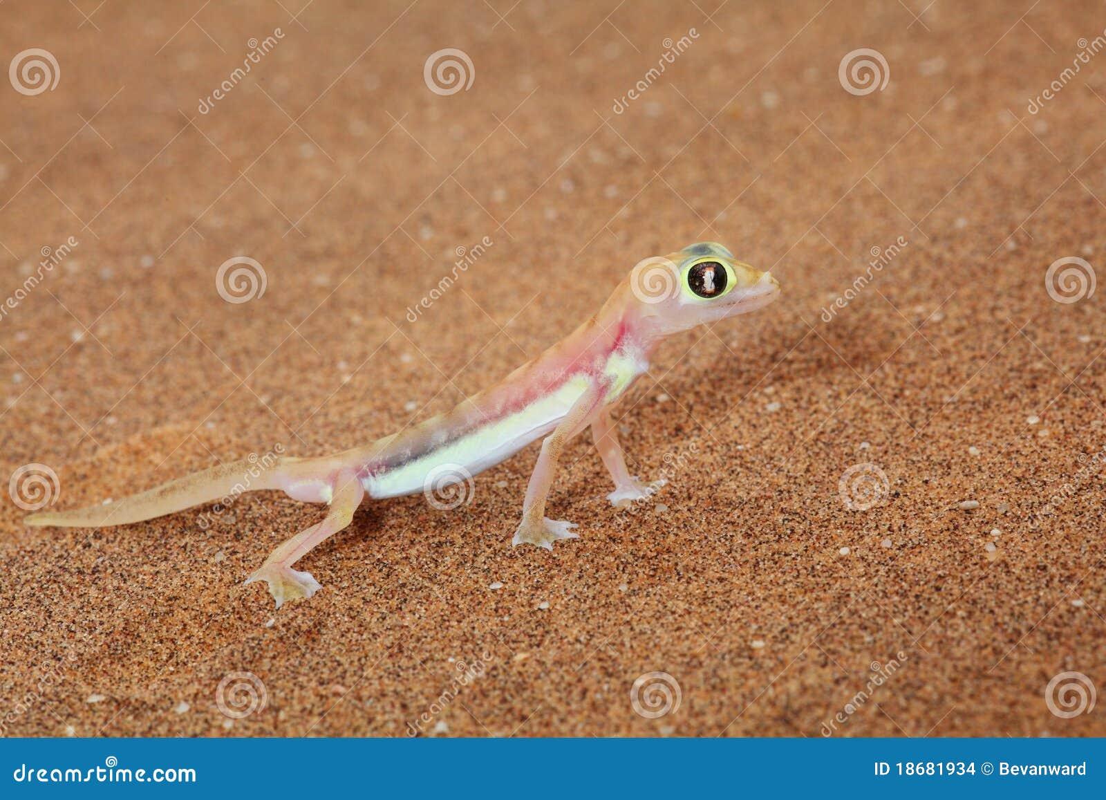 Lucertola del gecko di Palmato