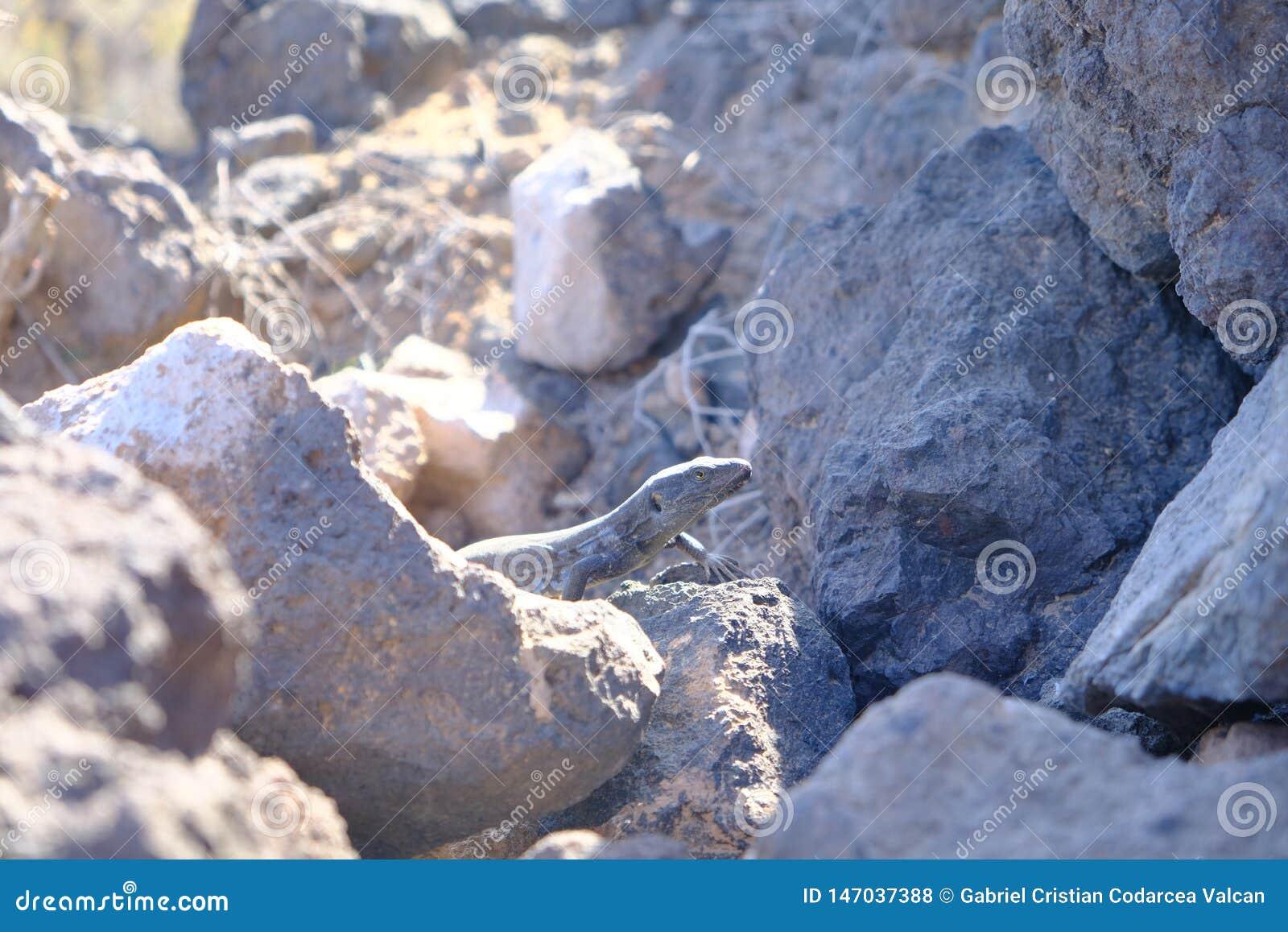 Lucertola scura cammuffata in rocce vulcaniche