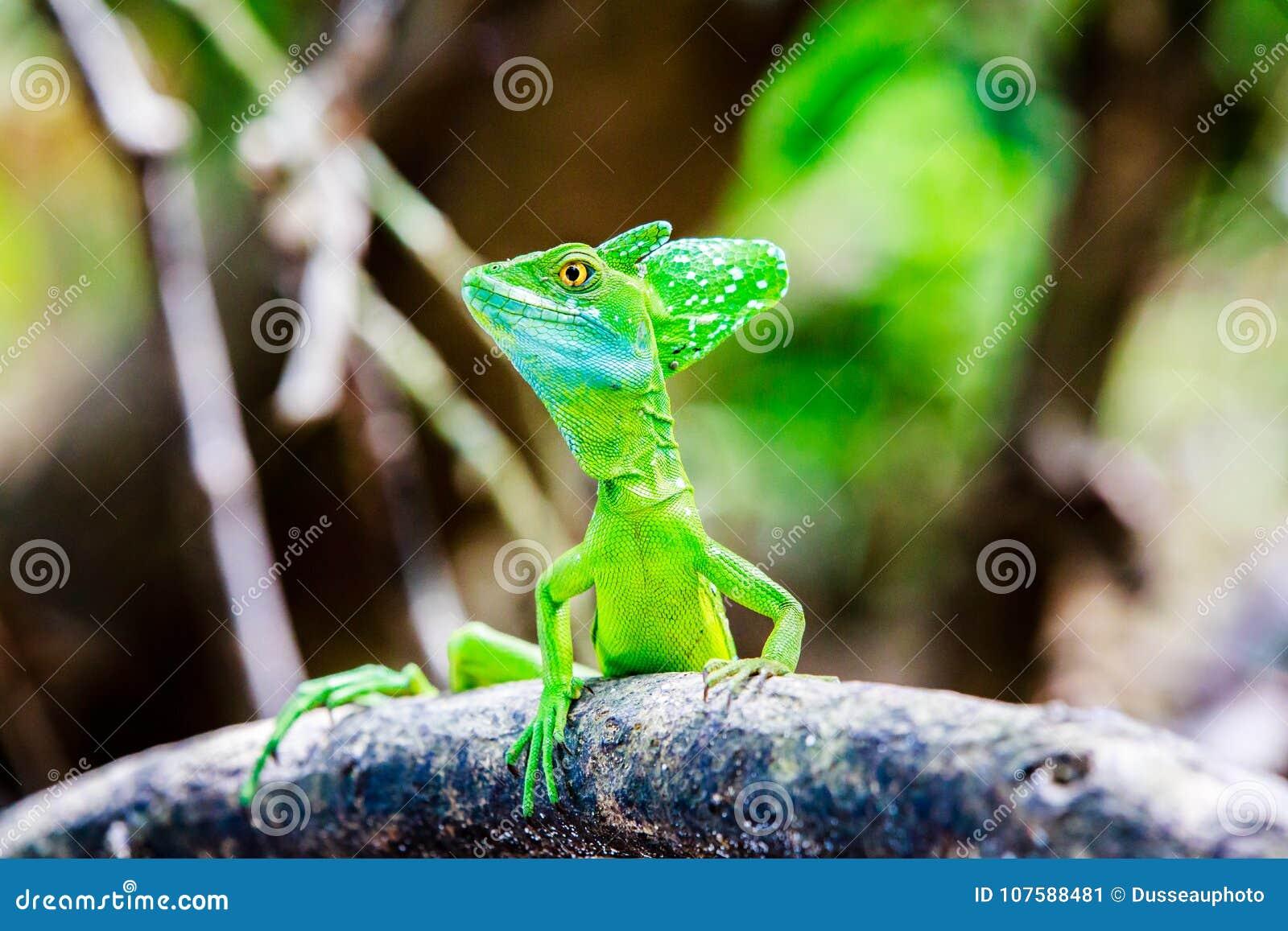 Lucertola verde del basilisco