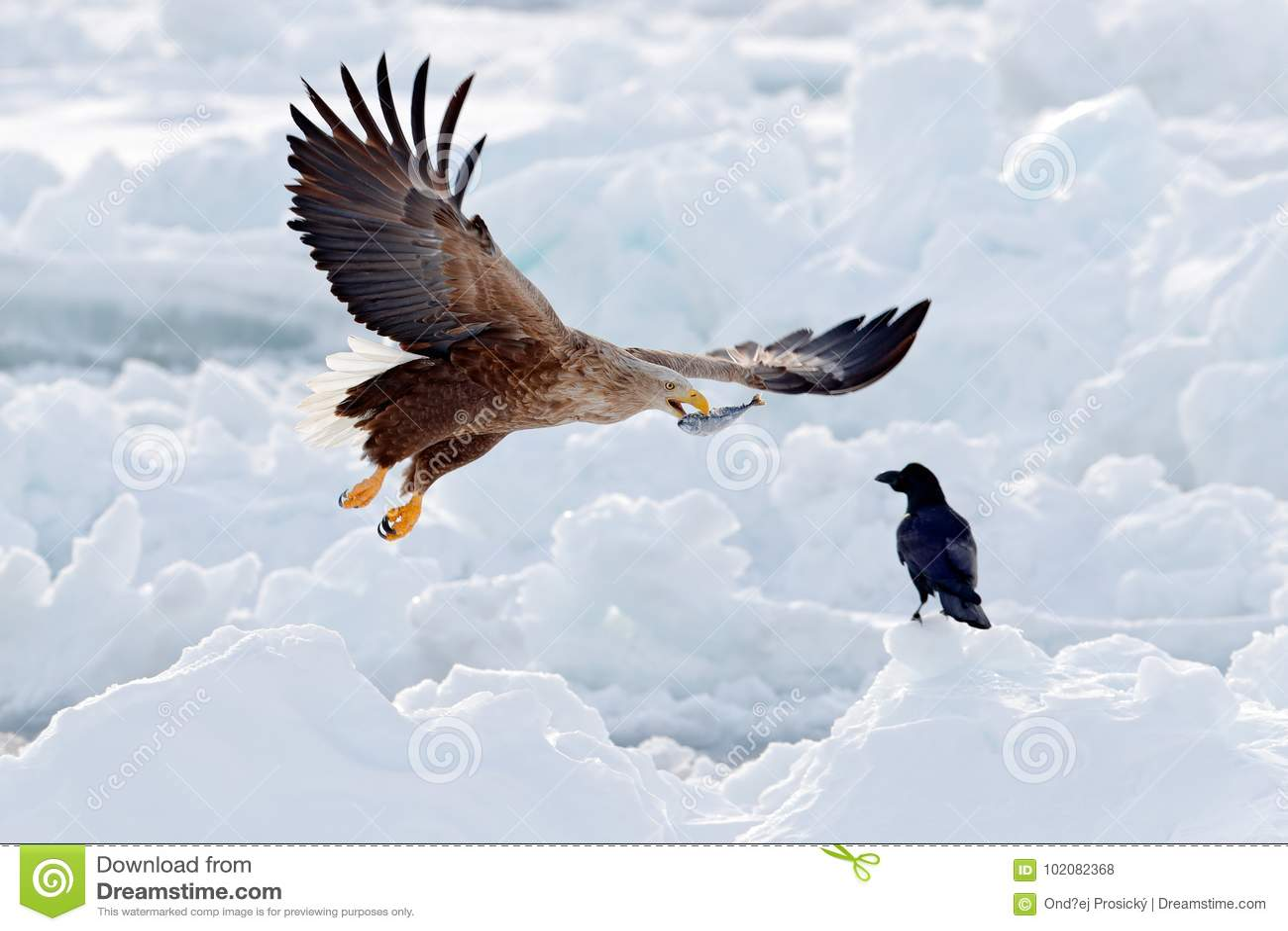 Lucha de Eagle con los pescados Escena del invierno con el ave rapaz dos Águilas grandes, mar de la nieve Águila Blanco-atada vue
