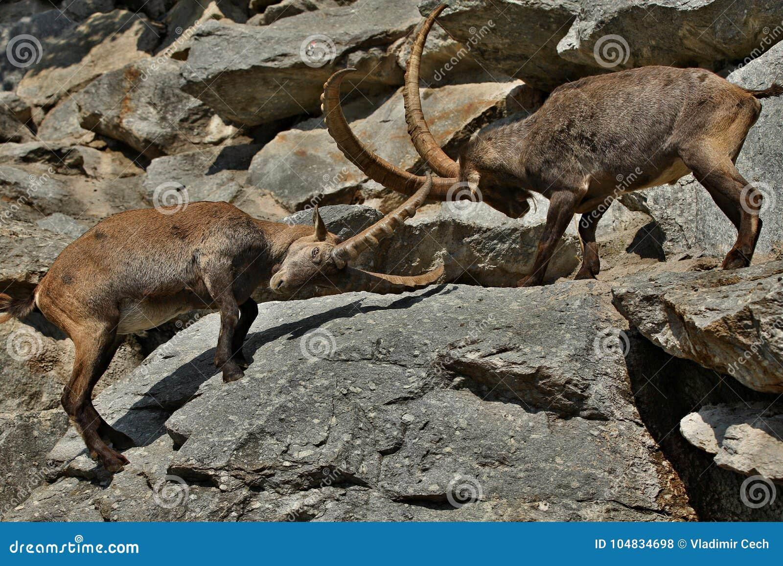 Lucha del cabra montés en el área de montaña rocosa