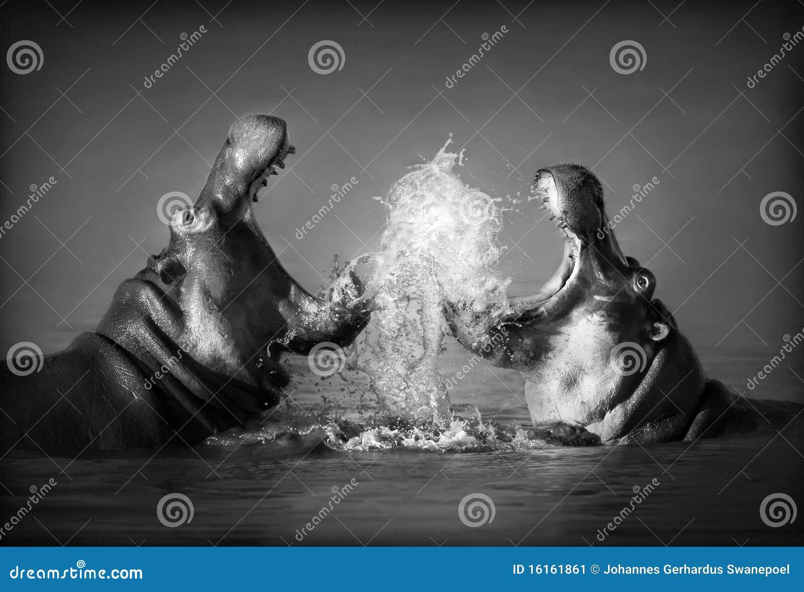 Lucha del hipopótamo