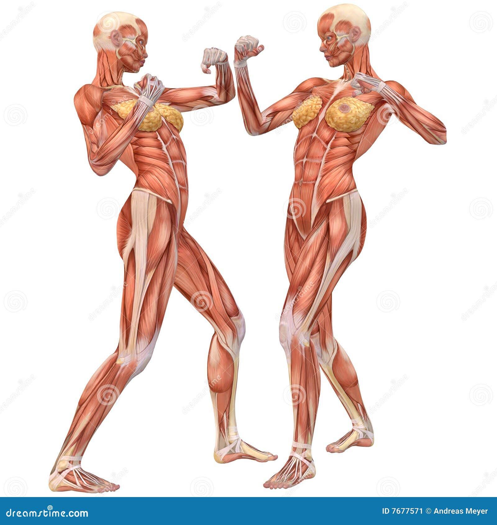 Lucha Femenina De La Anatomía-Calle Del Cuerpo Humano Stock de ...