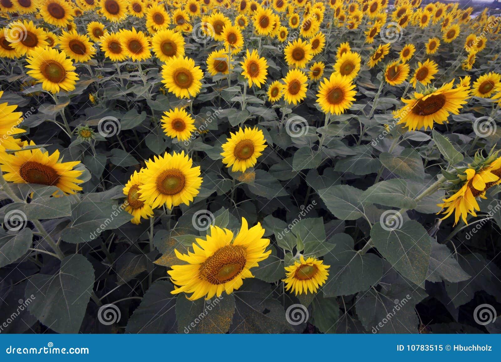 Lucht mening van zonnebloemgebied