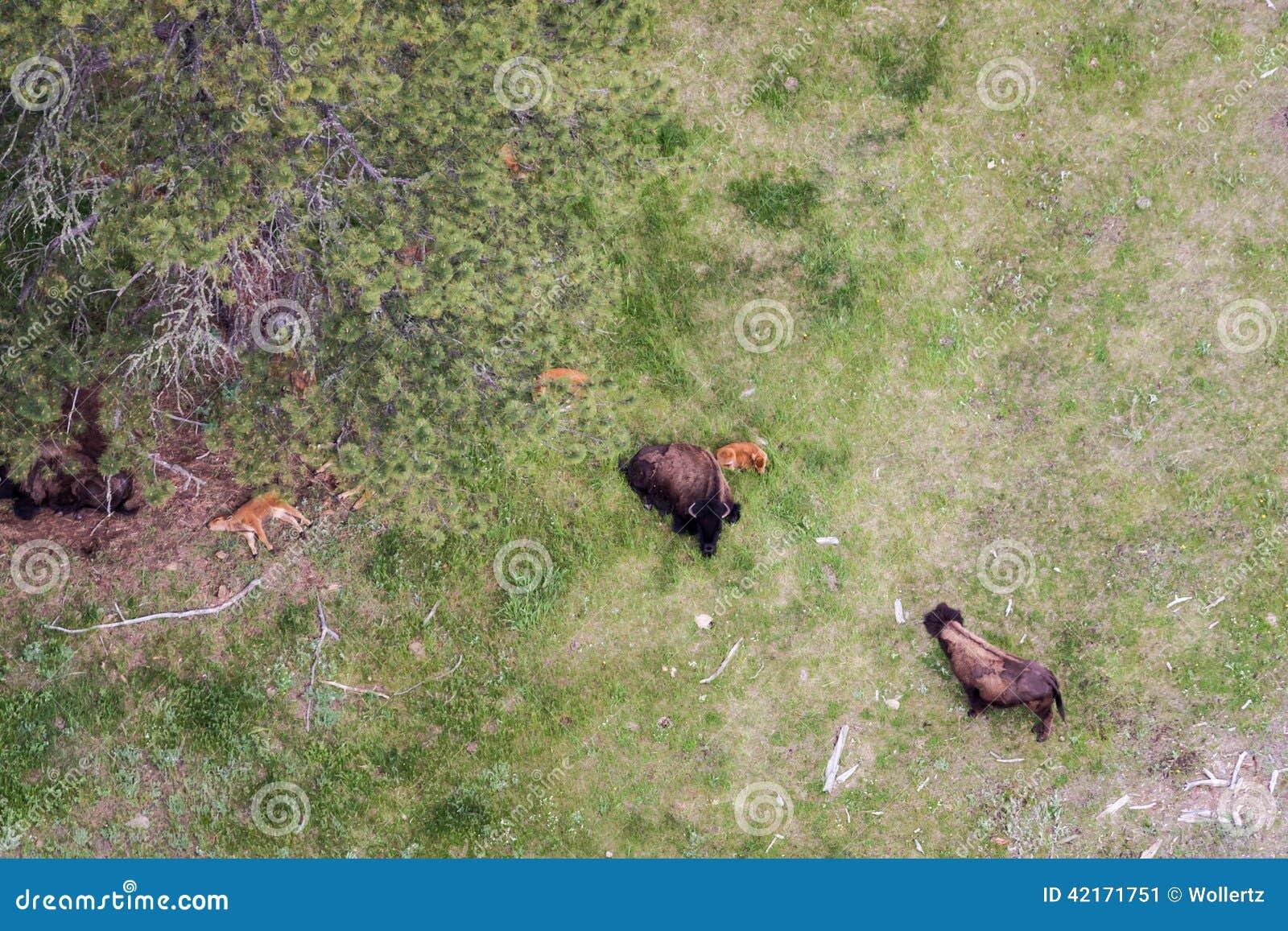 Luchtmening van een buffelskudde
