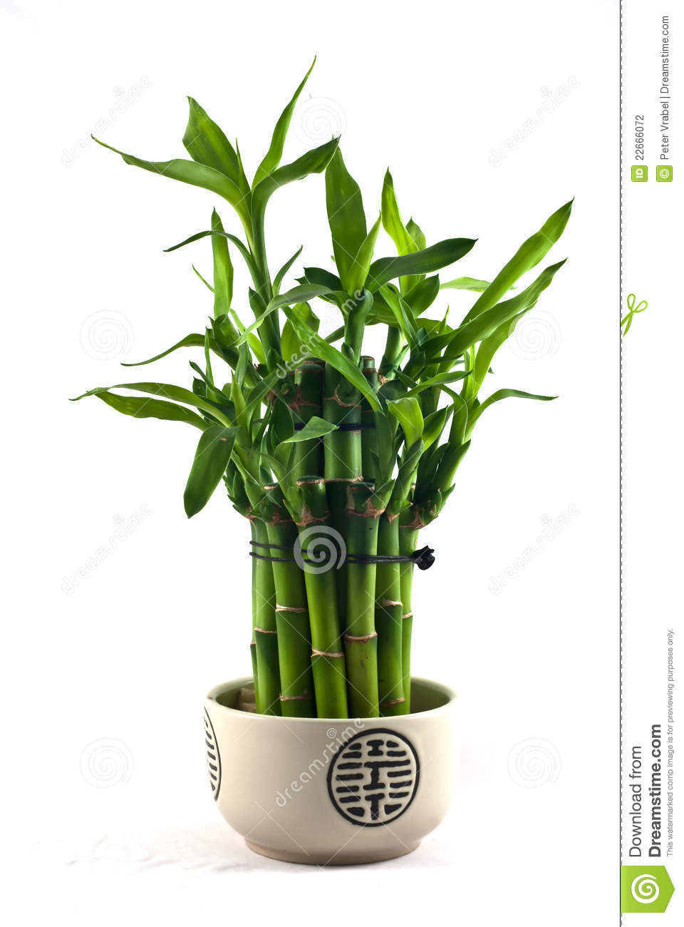 lucky bamboo stock photography image 22666072. Black Bedroom Furniture Sets. Home Design Ideas