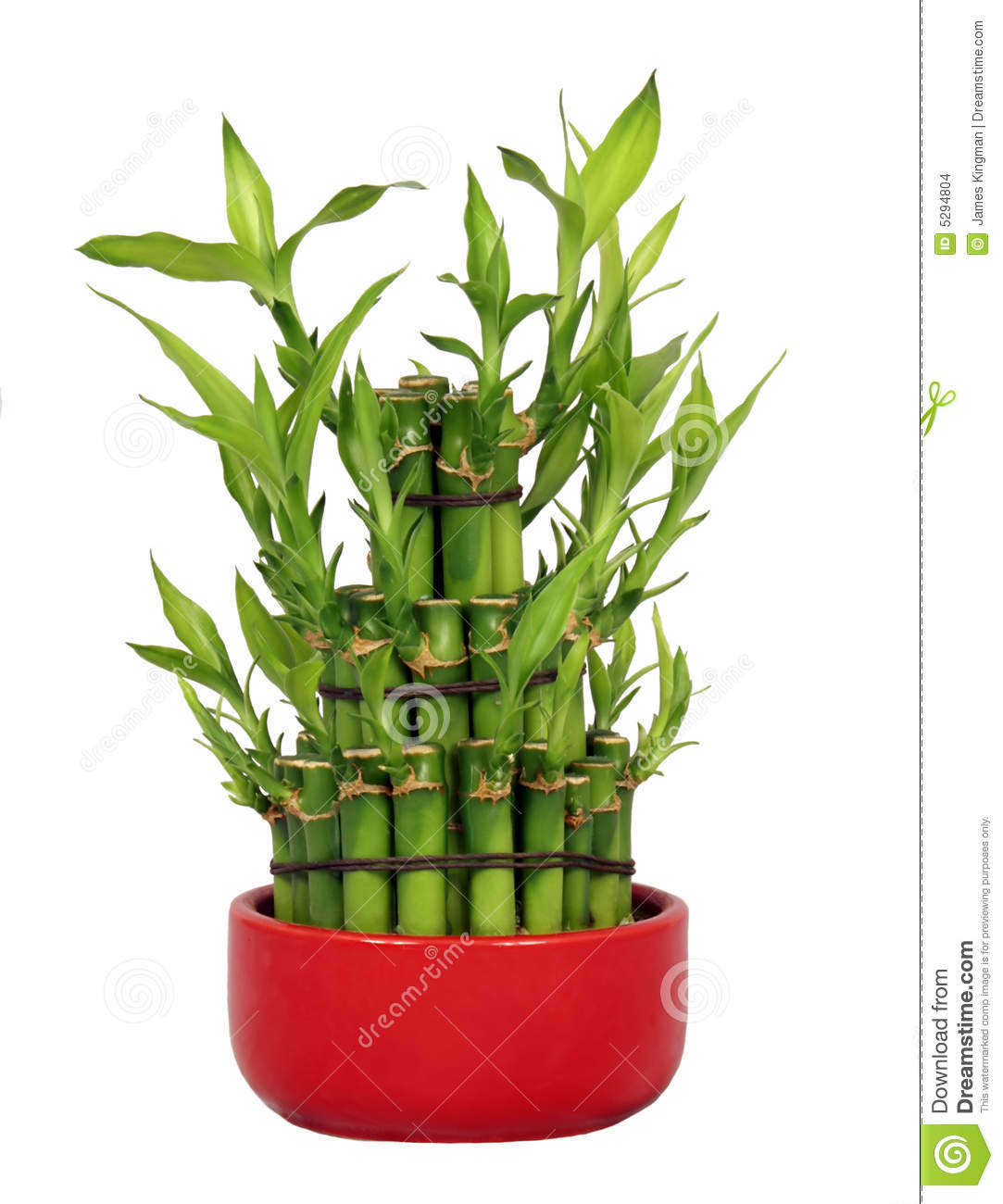 lucky bamboo stock photo image of stick flora luck. Black Bedroom Furniture Sets. Home Design Ideas