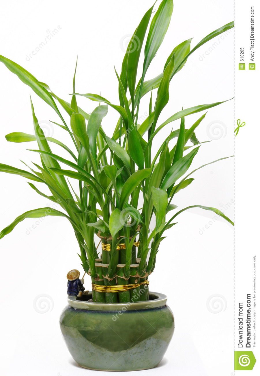Lucky bamboo house plant royalty free stock photo image 618265 - Green leafy indoor plants ...