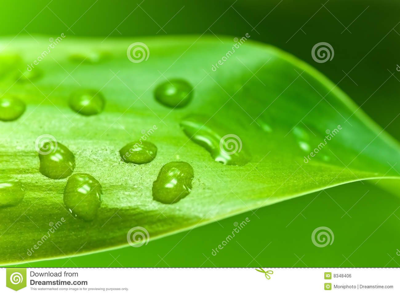 Lucky bamboo leaf with water drops