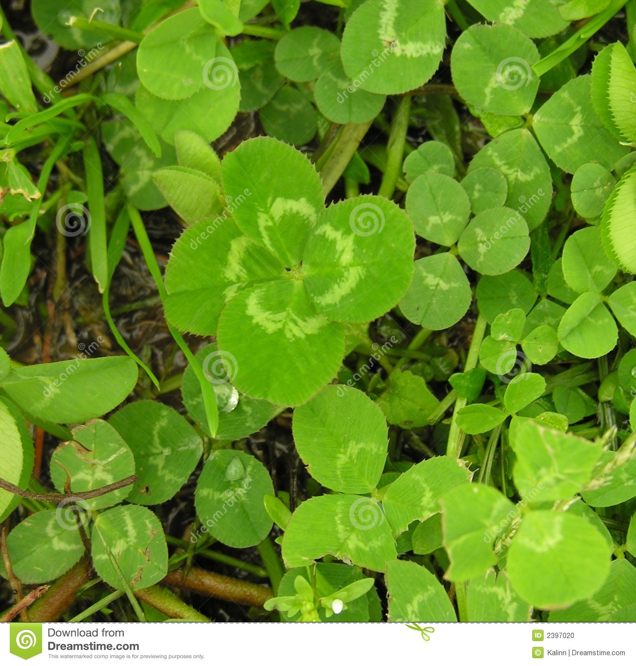 lucky four leaf clover stock photo image of four lawn 2397020