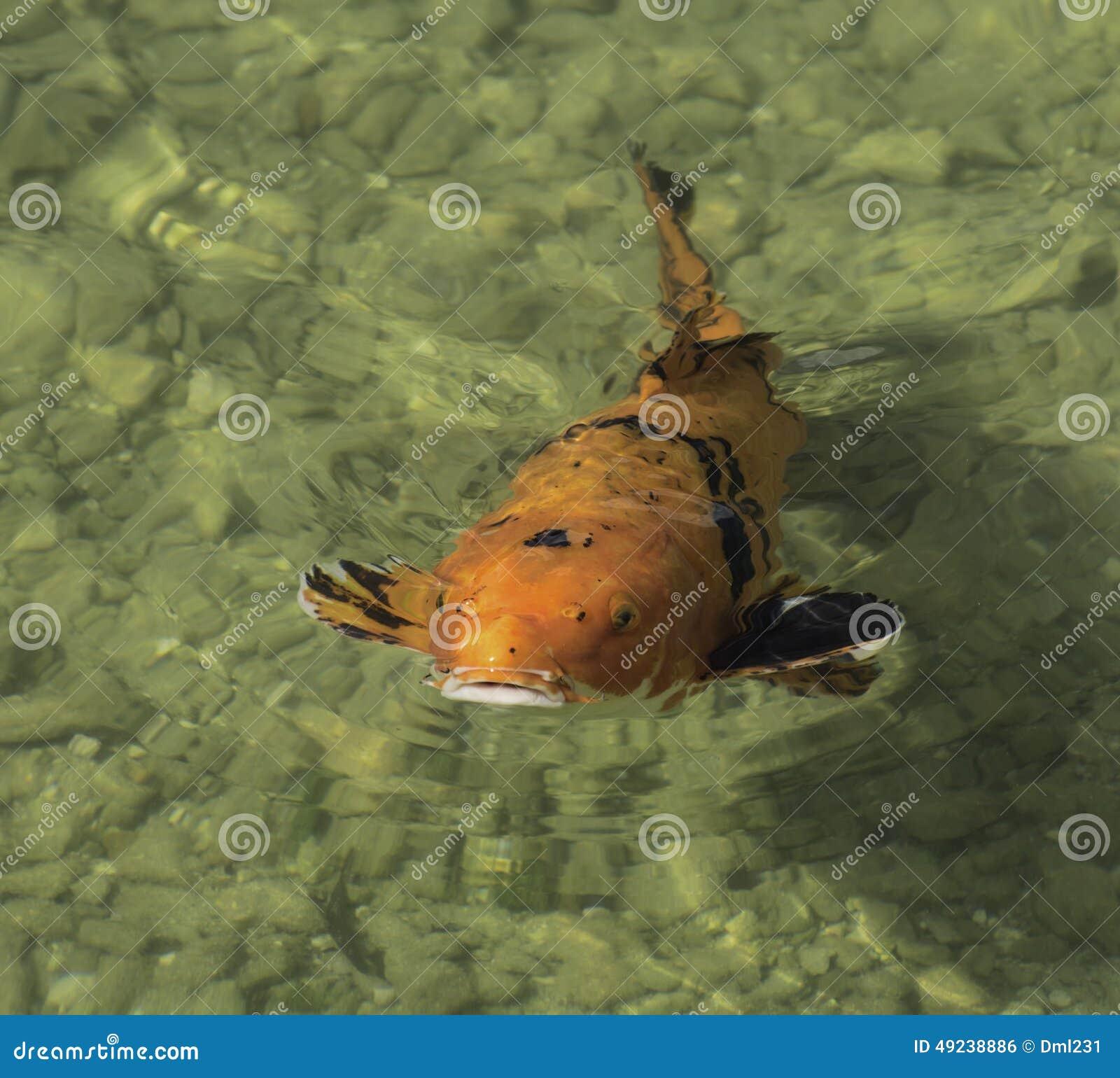 Lucky koi fish for Lucky koi fish