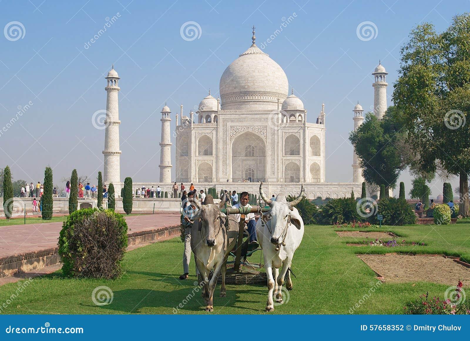 Ludzie cią trawy z byk jadącą gazon wnioskodawcą przy Taj Mahal w Agra, India