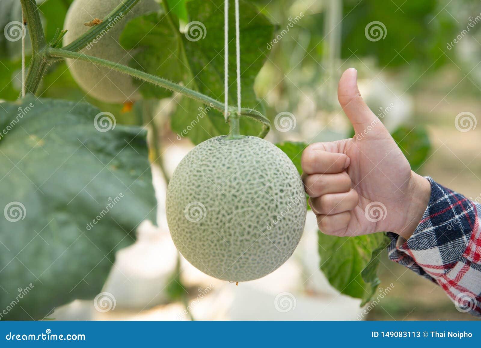Ludzie i melonu rolny poj?cie - szcz??liwy m?odej kobiety lub rolnika melon w szklarnia rolnych pokazuje kciukach