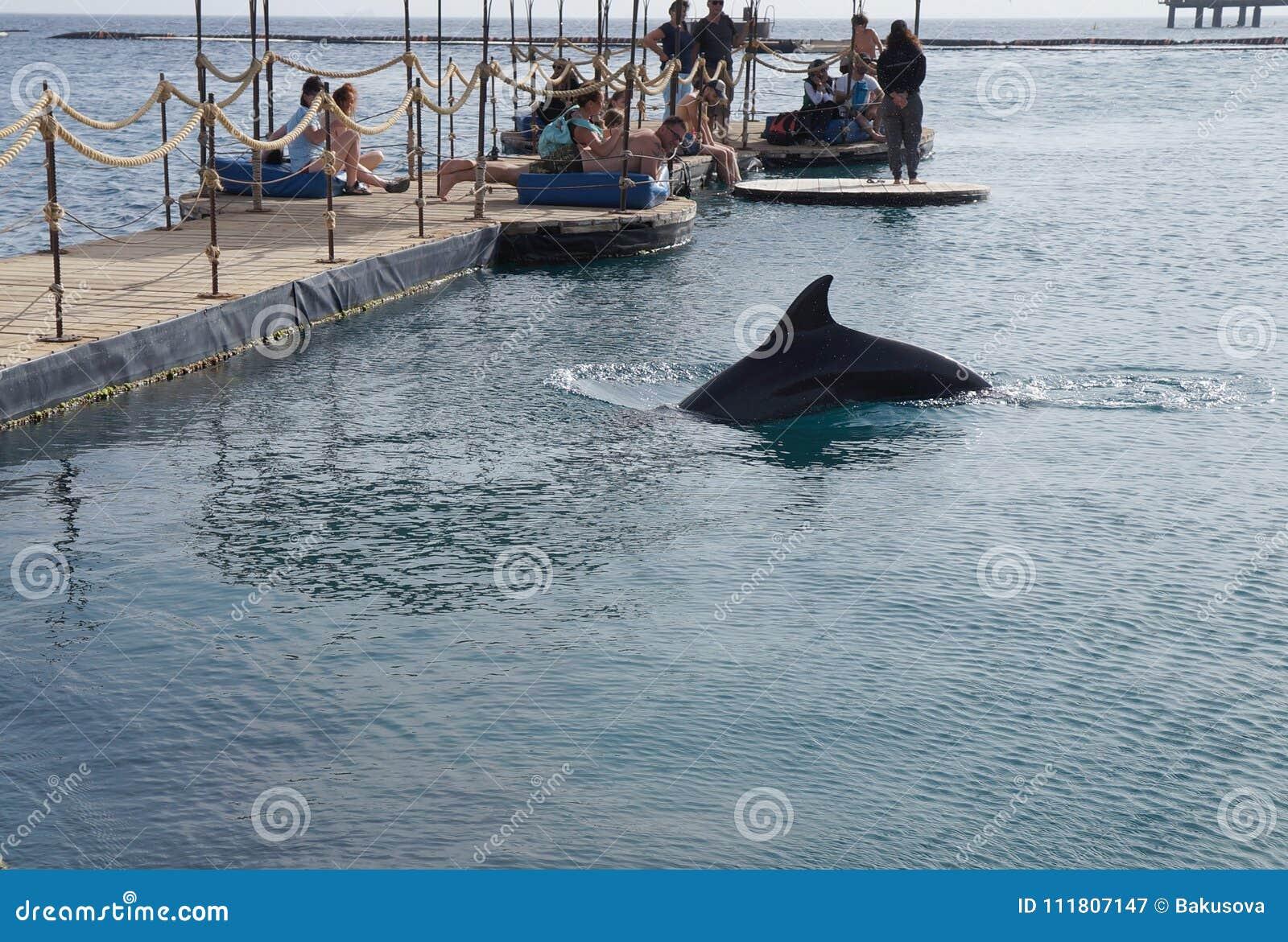 Ludzie obserwują pływackiego delfinu, Eilat