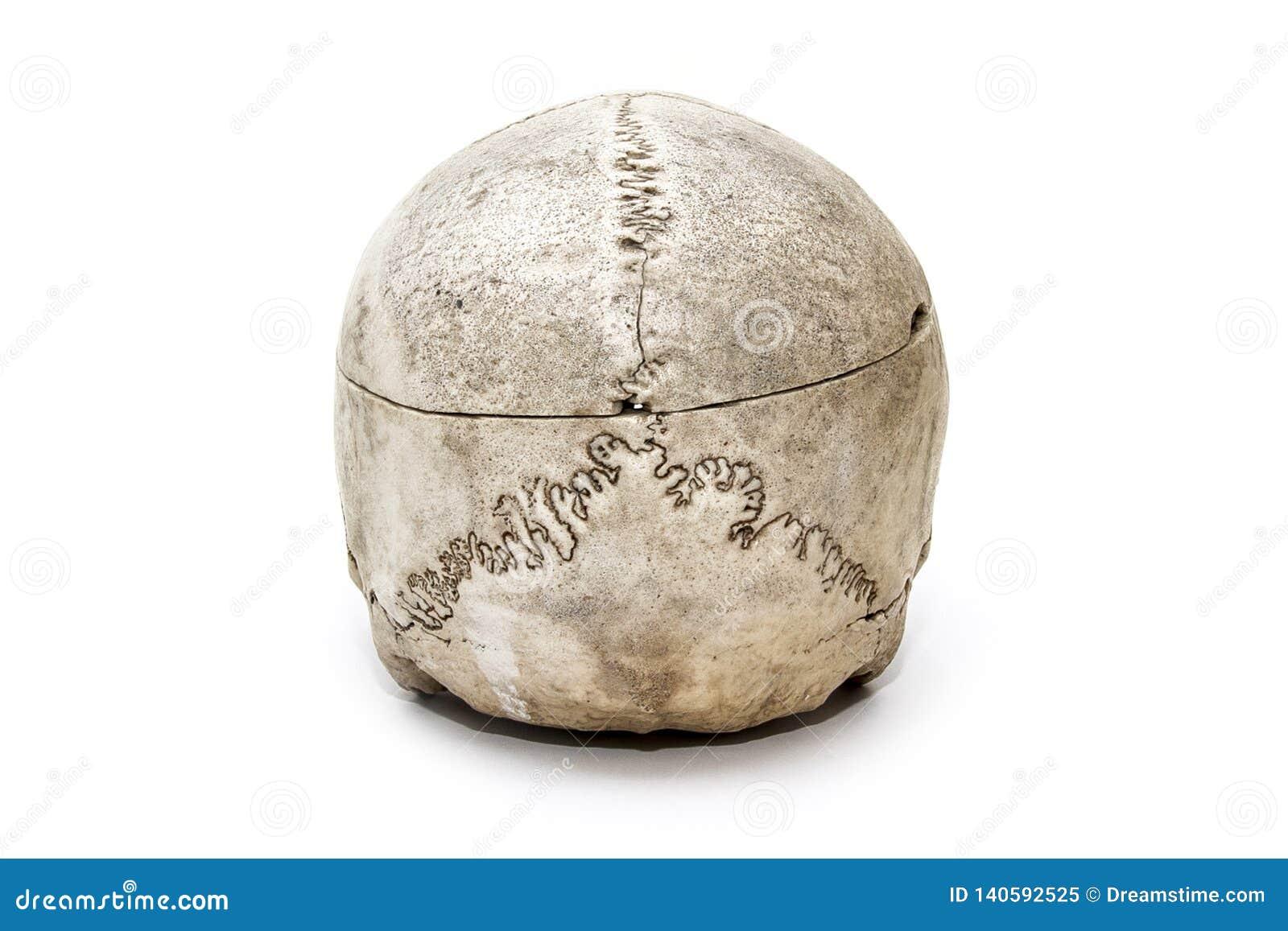 Ludzka czaszka od tylnej strony na białym tle