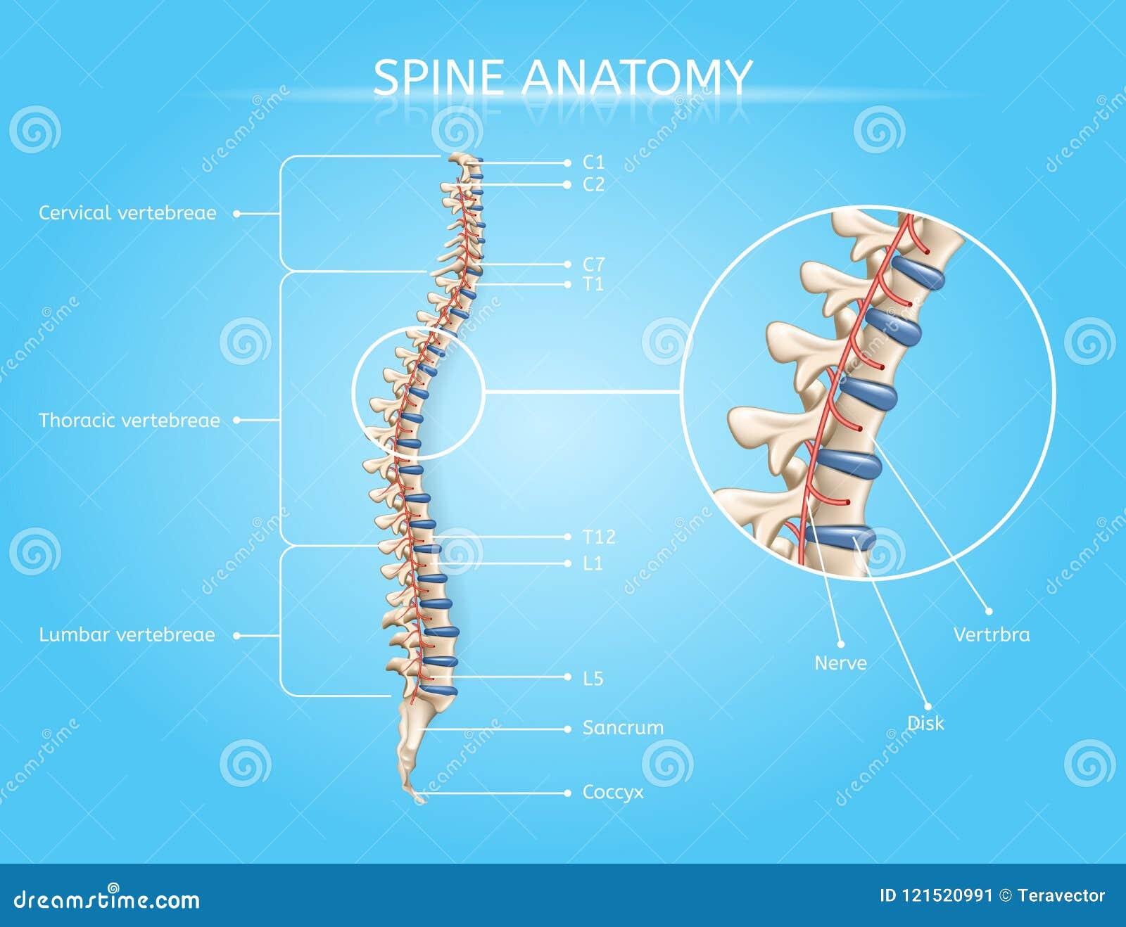 Ludzka kręgosłup anatomia Wektorowy Medyczny Infographic