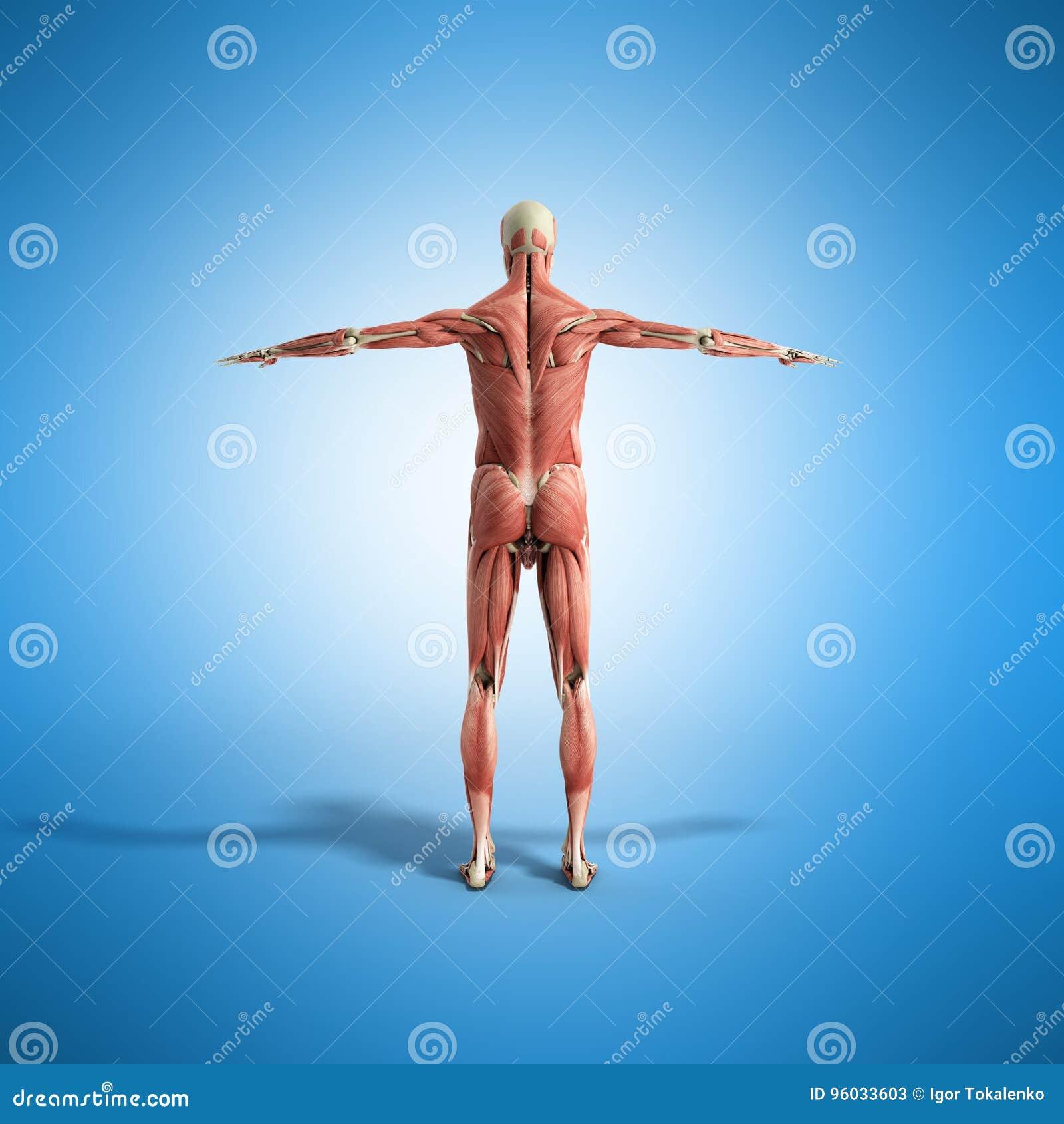 Ludzka mięsień anatomia 3d odpłaca się na błękicie