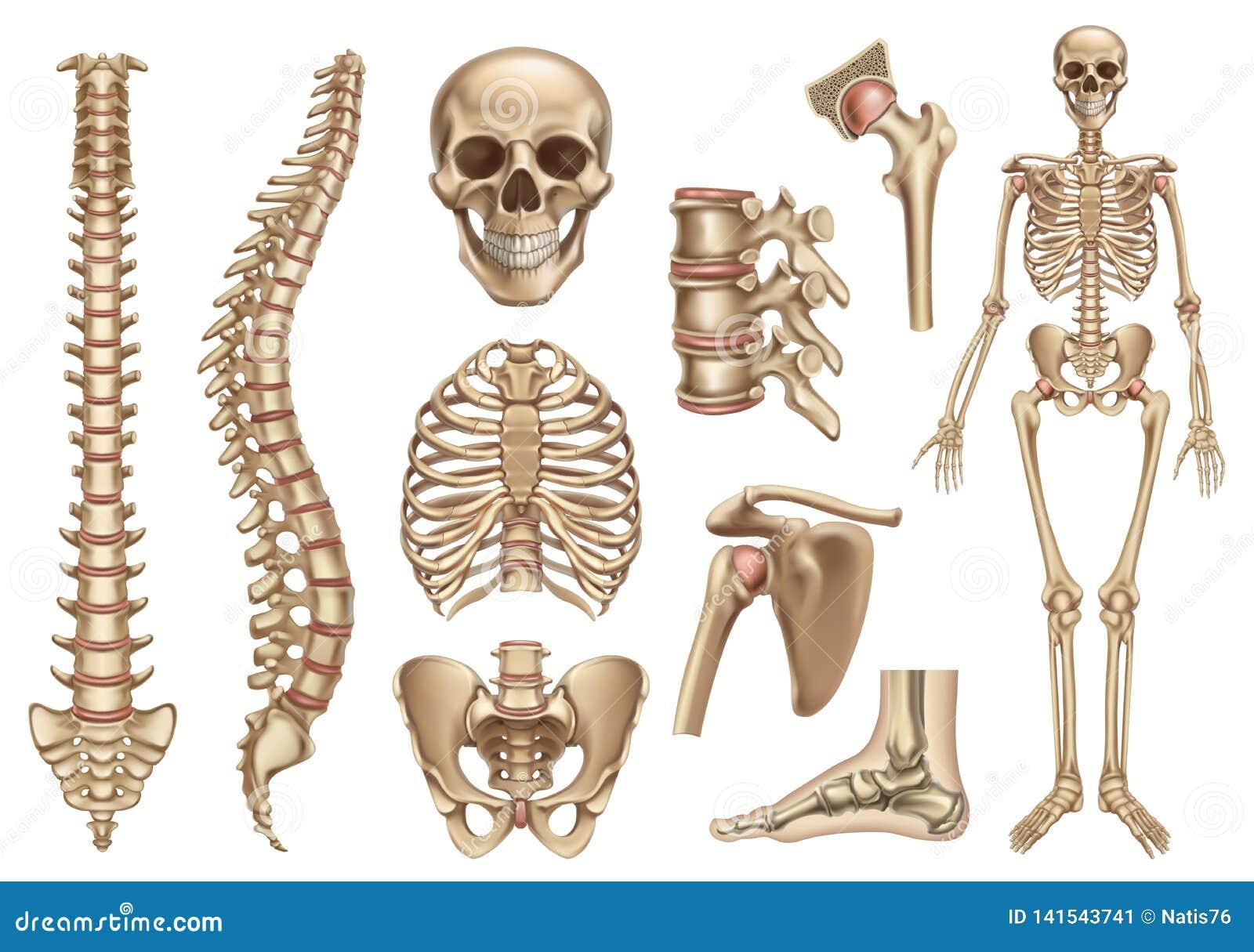 Ludzka zredukowana struktura Czaszka, kr?gos?up, ziobro klatka, pelvis, z??cza Anatomia i medycyna, 3d ikony wektorowy set