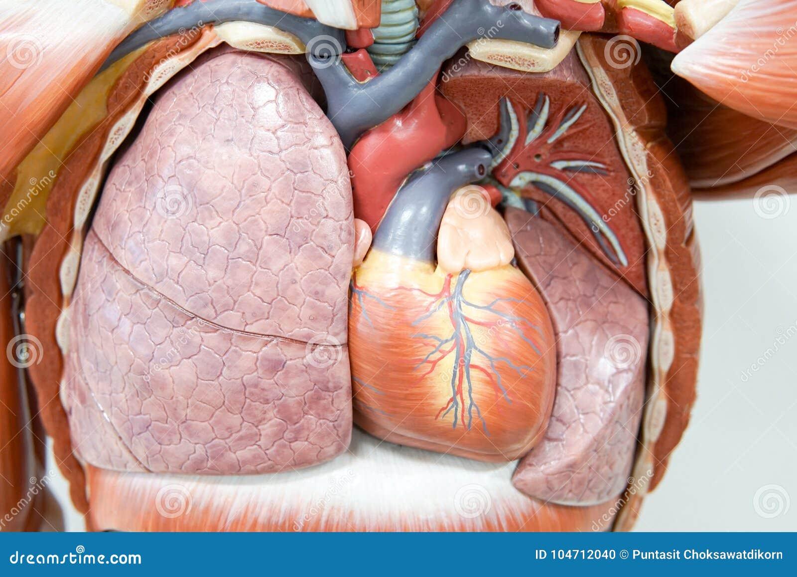 Ludzki anatomia model