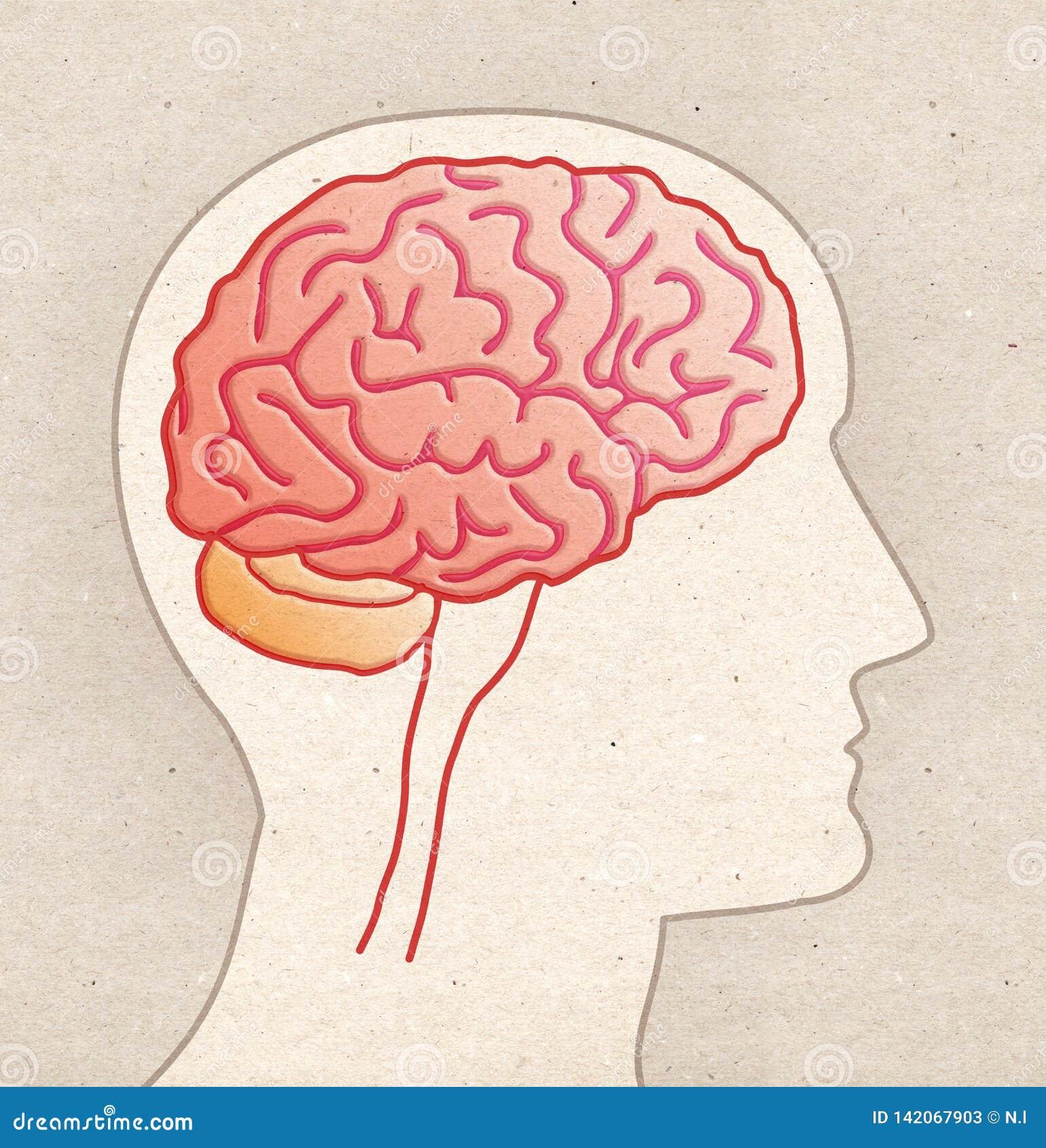 Ludzki anatomia rysunek - Profilowa głowa z MÓŻDŻKOWYM bocznym widokiem