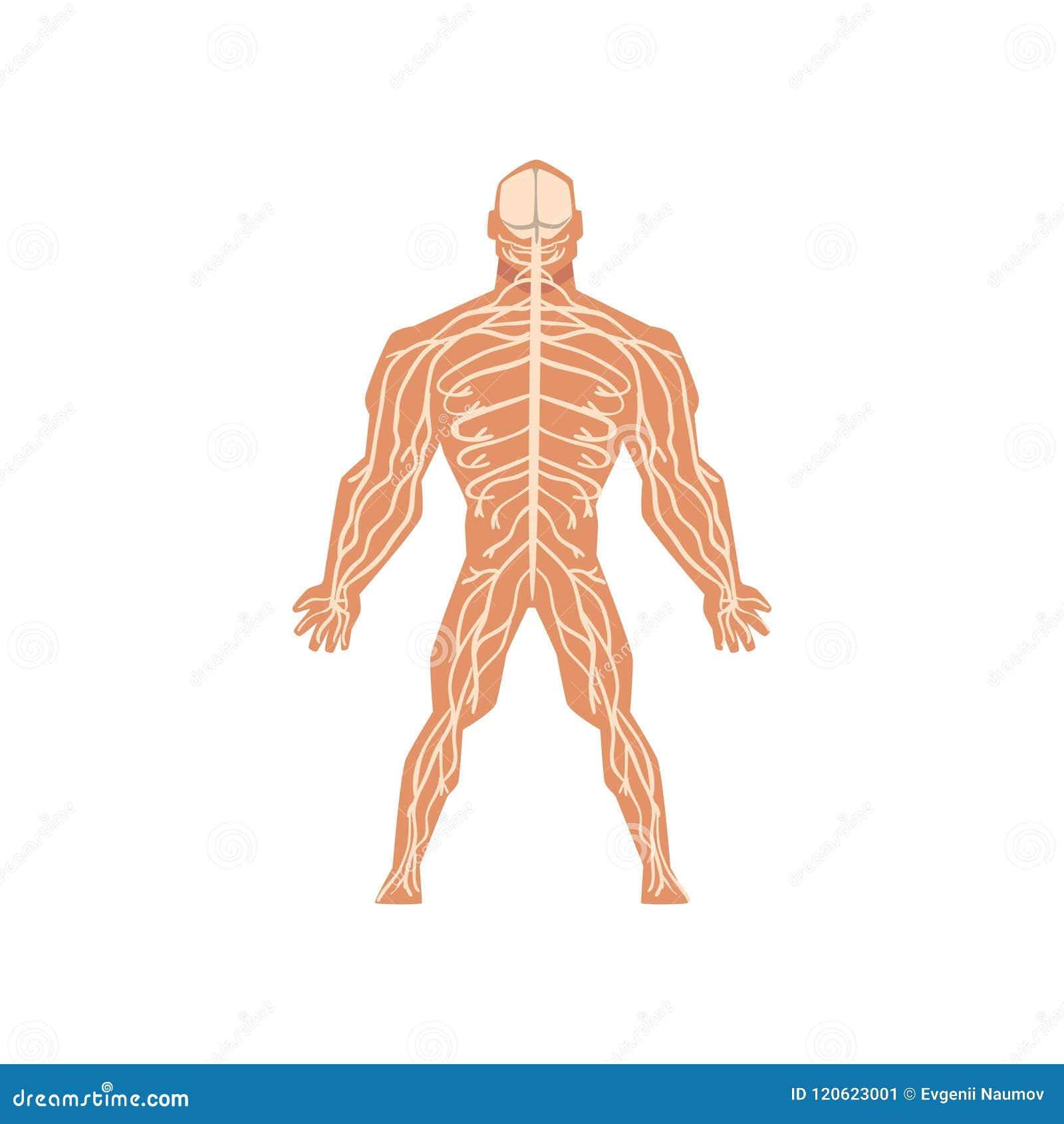 Ludzki biologiczny układ nerwowy, anatomia ciało ludzkie wektorowa ilustracja na białym tle