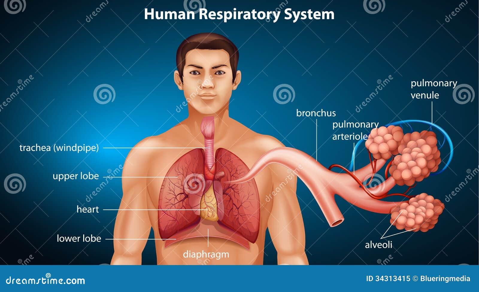 Ludzki oddechowy system
