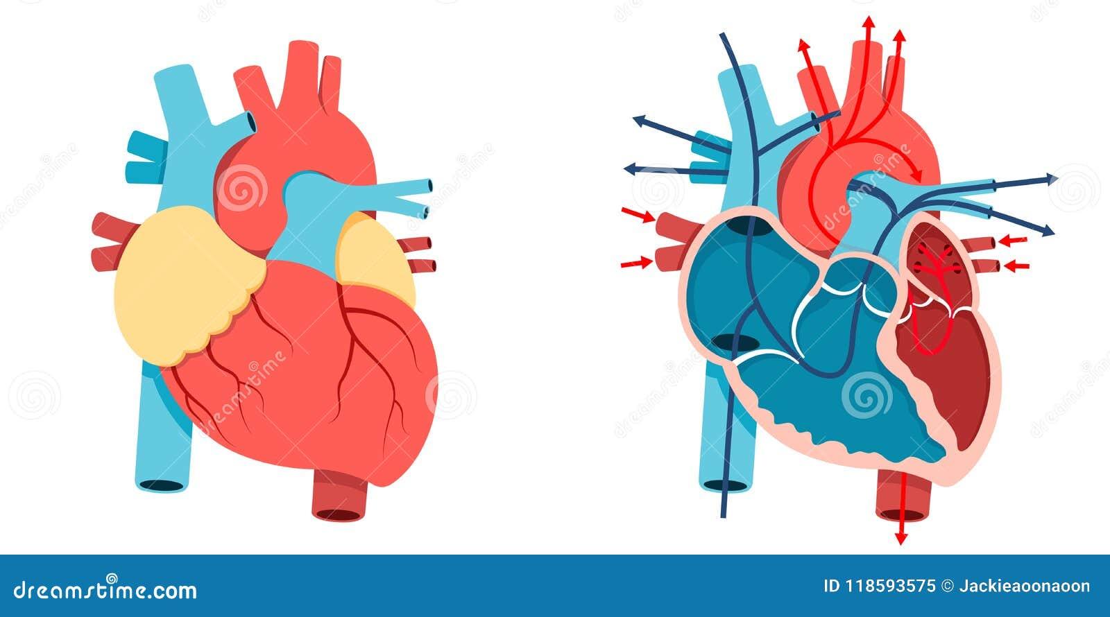 Ludzki serce i przepływ krwi