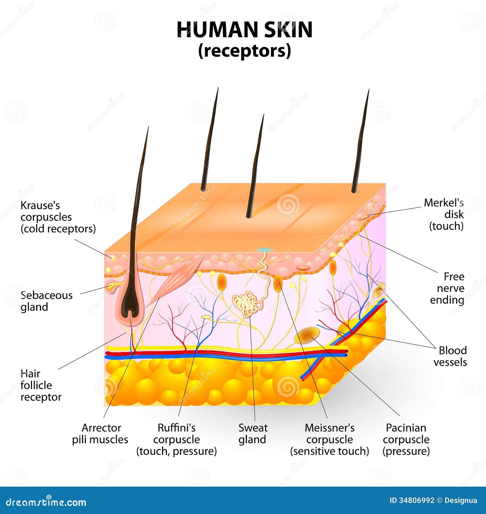 Ludzki skóry warstwy wektoru przekrój poprzeczny