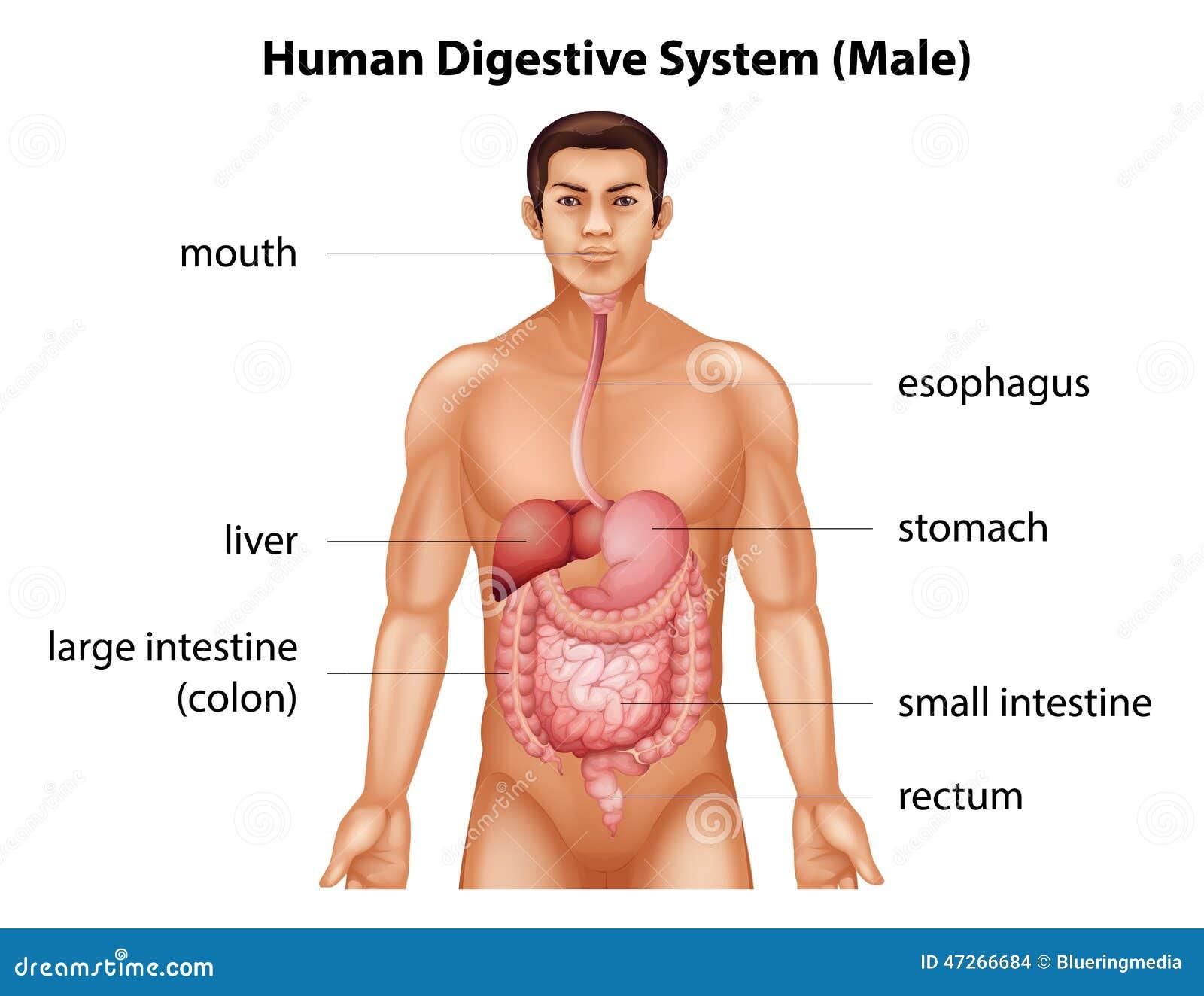 Ludzki system trawienny