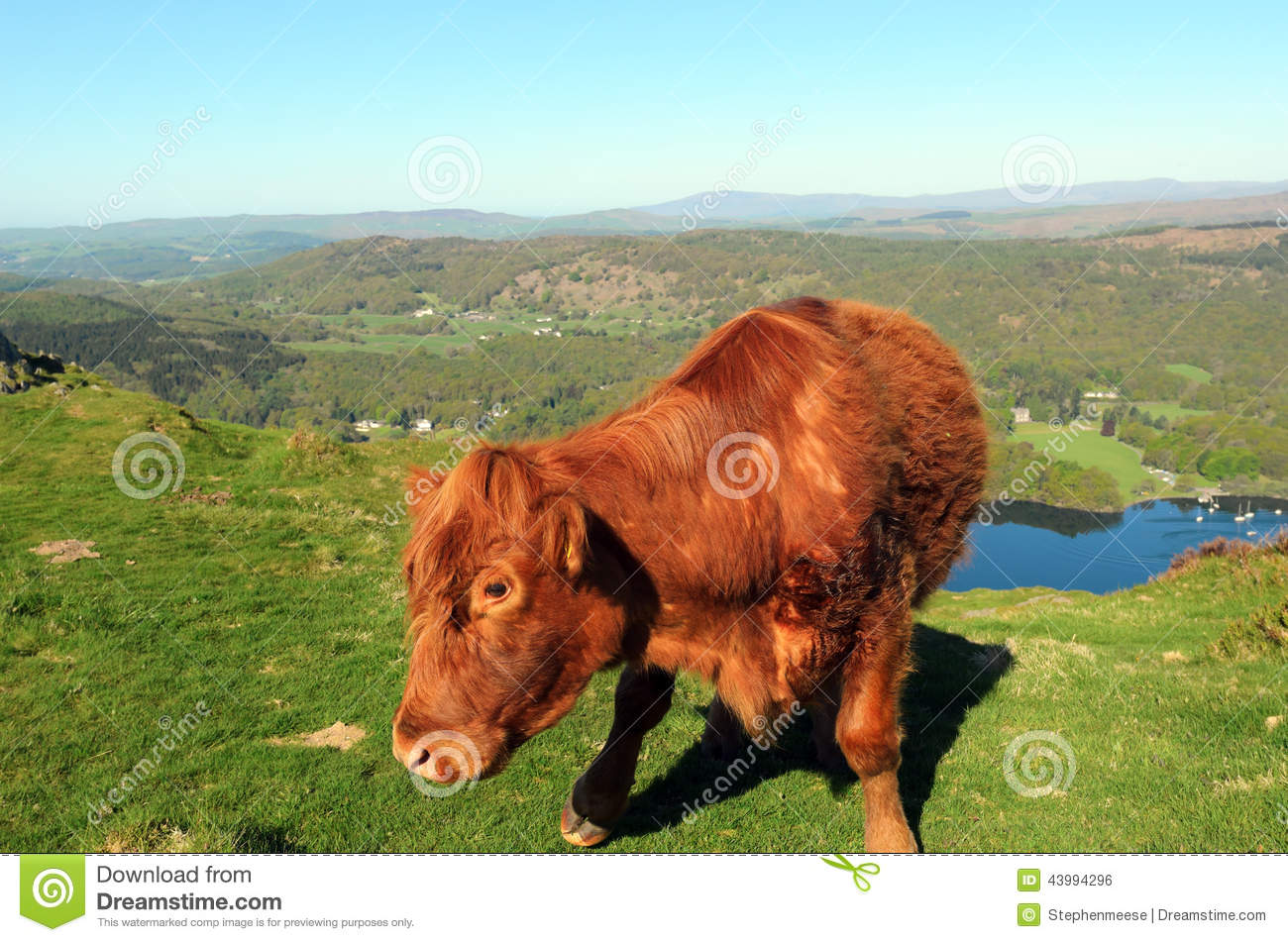 Luing cow above lake windermere stock photo image of mammal download luing cow above lake windermere stock photo image of mammal windermere 43994296 publicscrutiny Images