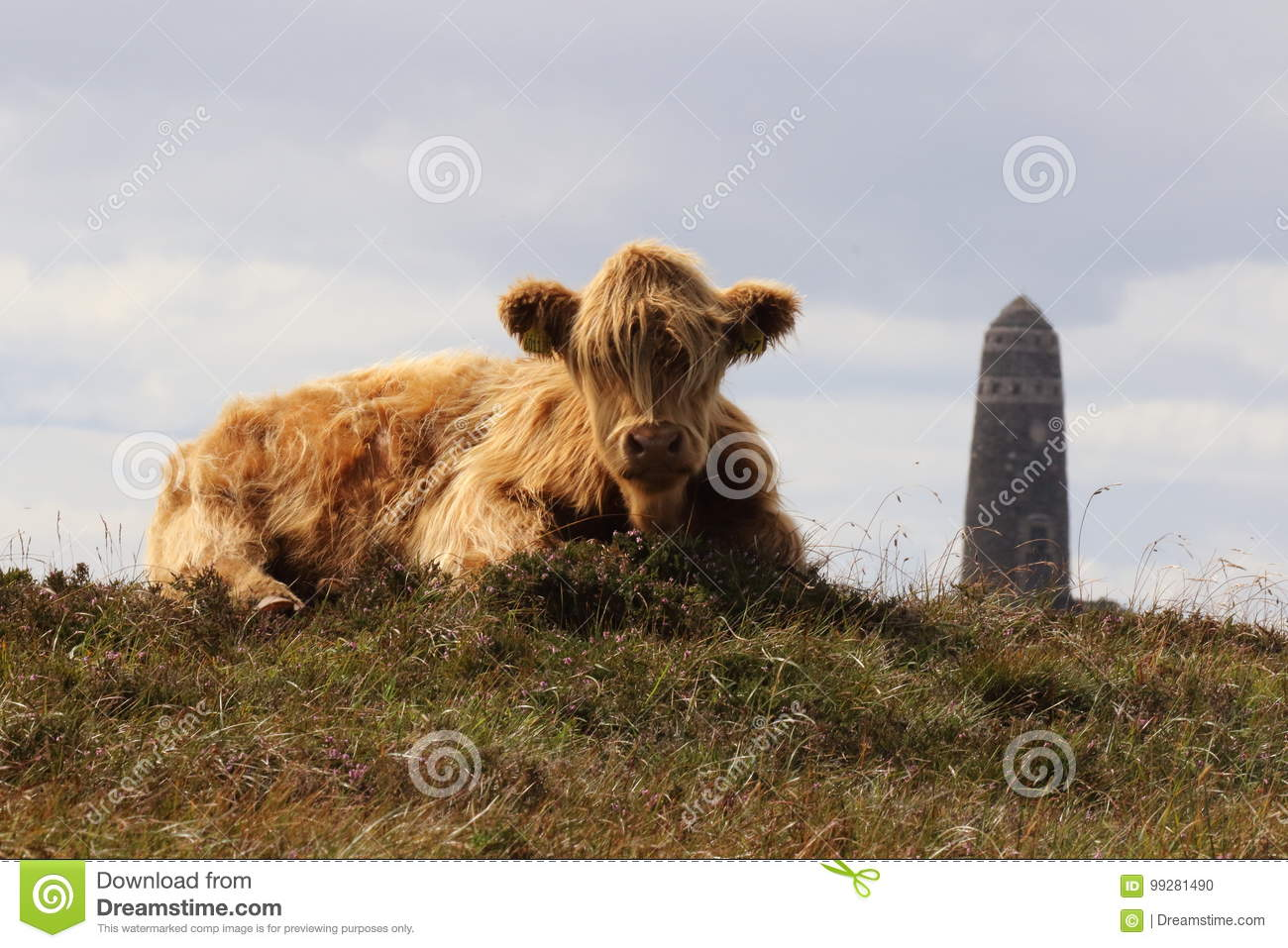 Luing cow sitting in front of american monument on isle of islay download luing cow sitting in front of american monument on isle of islay scotland stock publicscrutiny Images