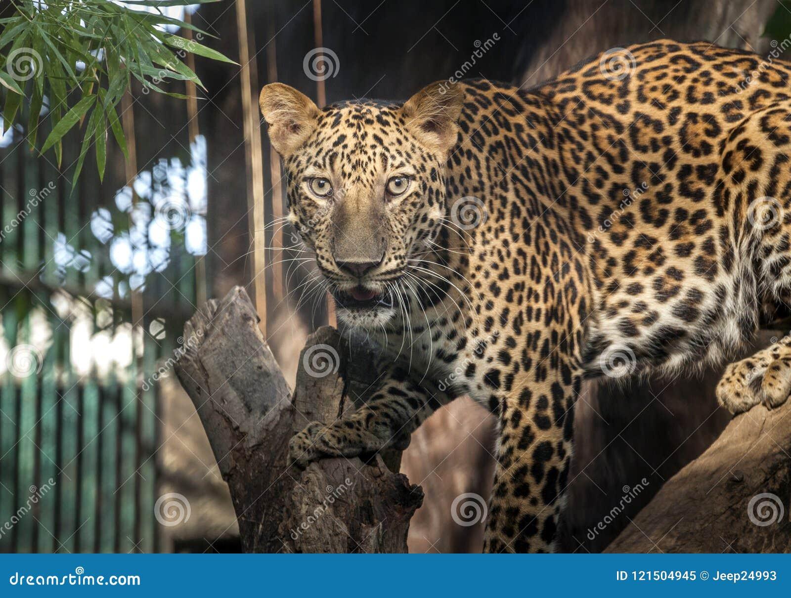 Luipaard die looing iets jagen