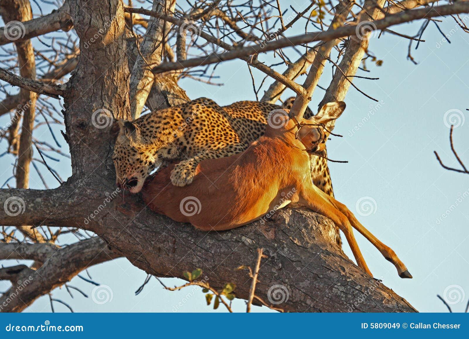 jaguar afrika with Royalty Vrije Stock Afbeeldingen Luipaard Een Boom Met Doden Image5809049 on Leoparden Alles Ueber Die Stolzen Raeuber together with Fennek as well Animal Of Week Amur Leopard in addition 574 Kamel Dromedar Unterschied as well King Cheetah 357525586.