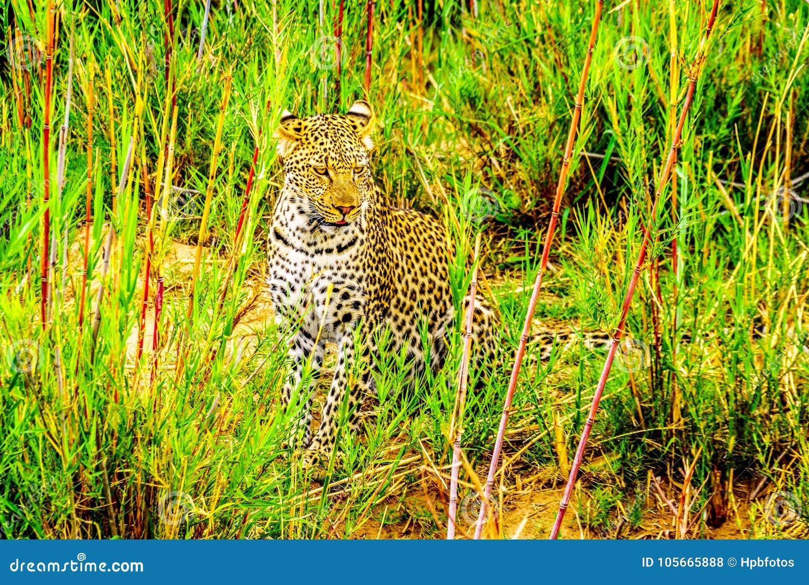 Luipaard in het Hoge Gras langs de Olifant-Rivier in het Nationale Park van Kruger