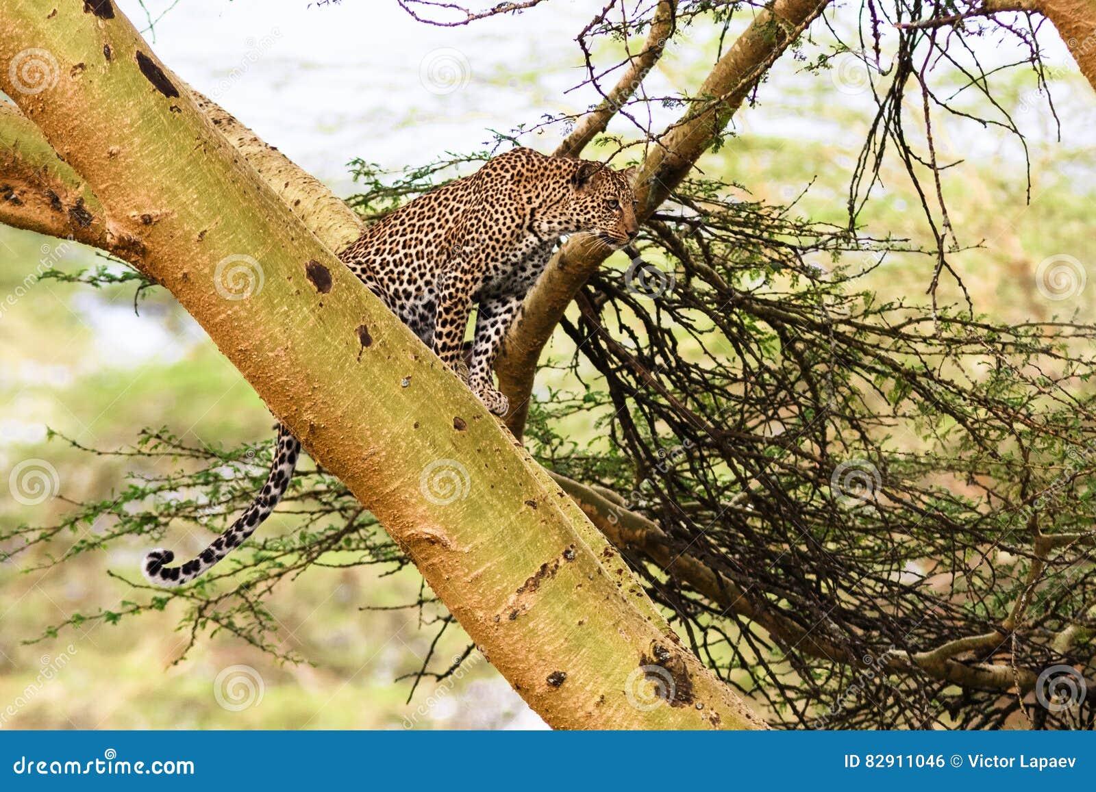Luipaard het wachten prooi ambush op boom