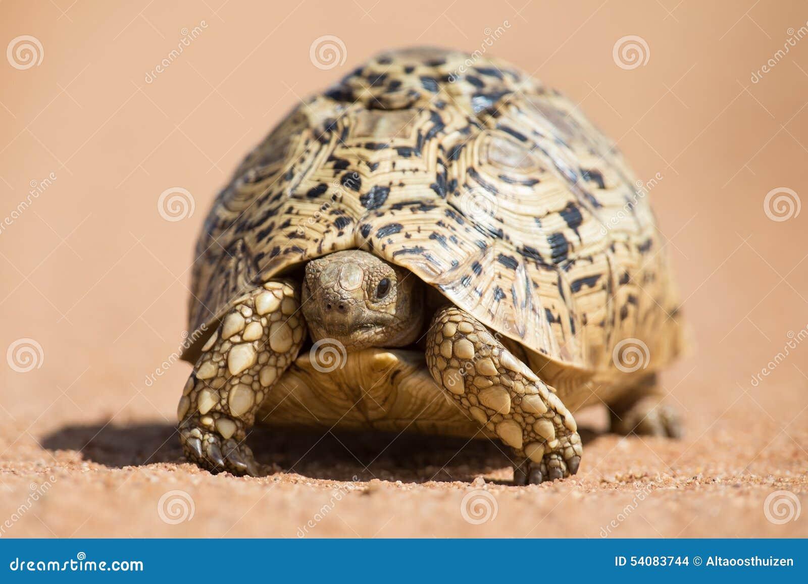 Luipaardschildpad die langzaam op zand met beschermende shell lopen