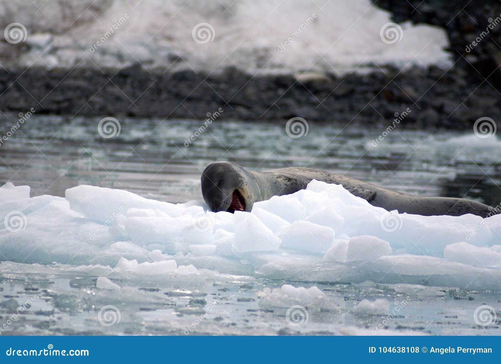 Download Luipaardverbinding Op Een Ijsberg Stock Foto - Afbeelding bestaande uit pool, polair: 104638108