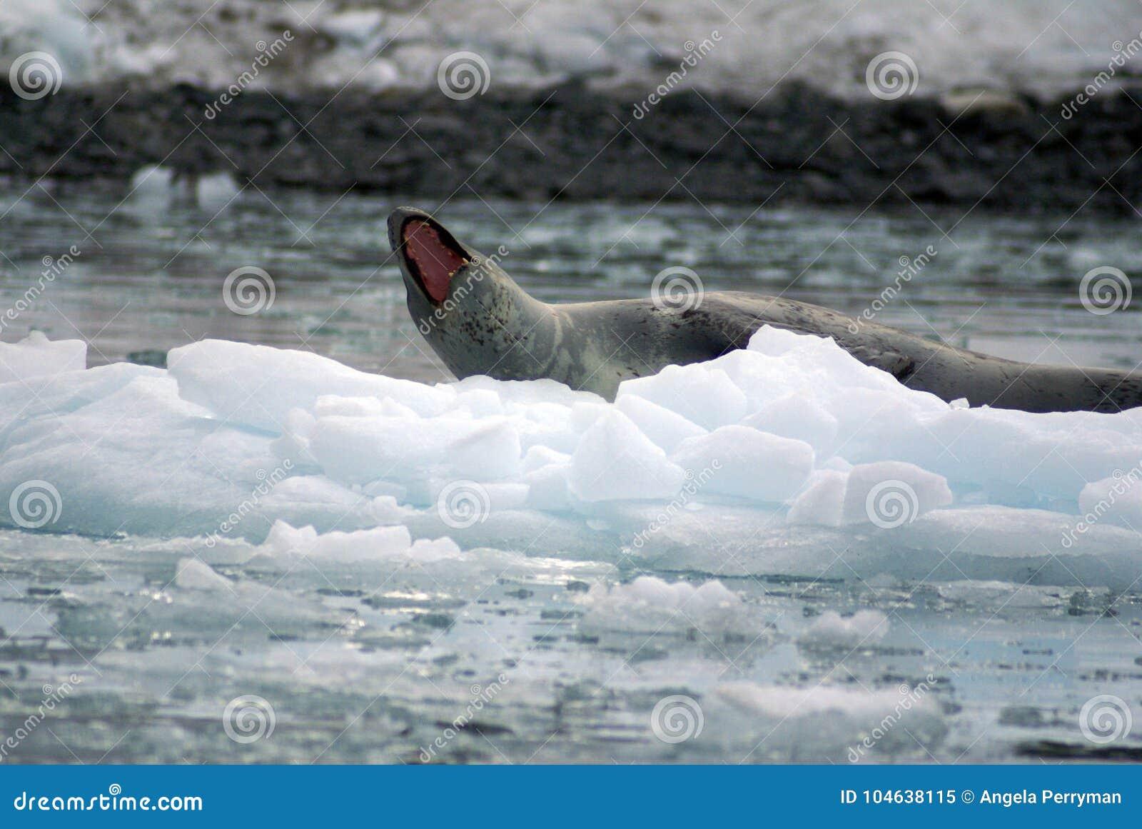 Download Luipaardverbinding Op Een Ijsberg Stock Afbeelding - Afbeelding bestaande uit frigid, climbing: 104638115