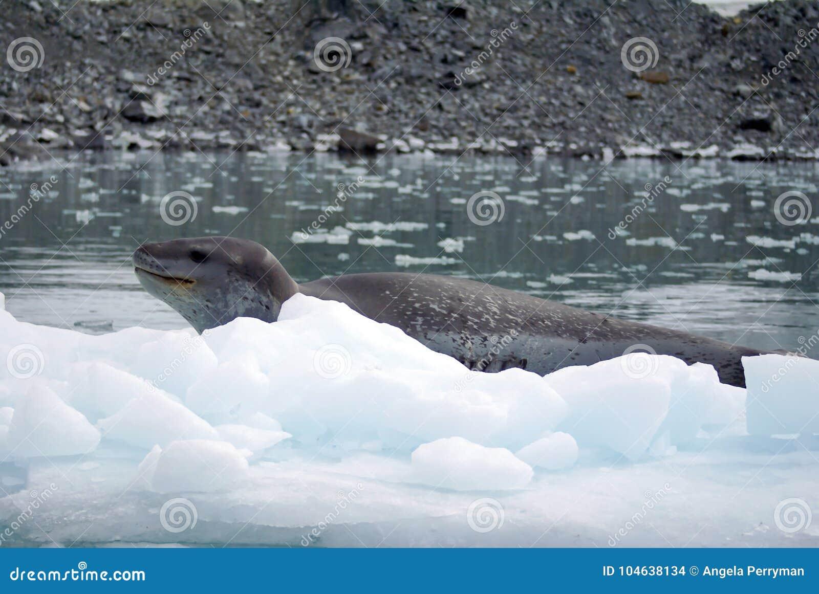 Download Luipaardverbinding Op Een Ijsberg Stock Foto - Afbeelding bestaande uit overzees, wateren: 104638134