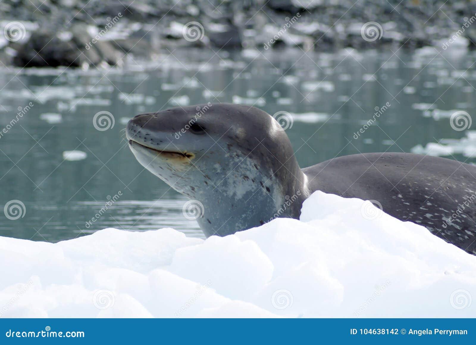 Download Luipaardverbinding Op Een Ijsberg Stock Foto - Afbeelding bestaande uit freezing, verbinding: 104638142