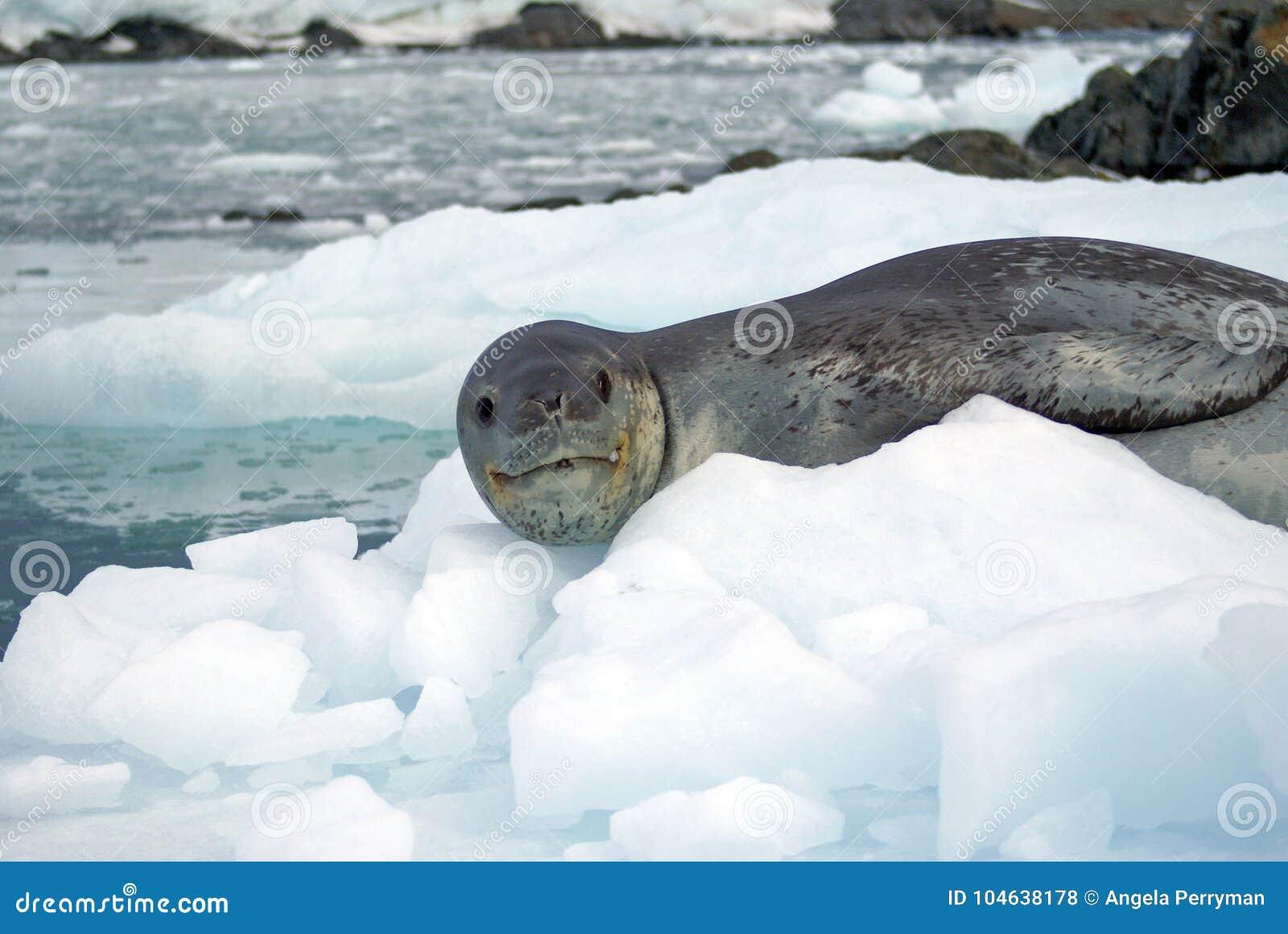 Download Luipaardverbinding Op Een Ijsberg Stock Foto - Afbeelding bestaande uit bevroren, wateren: 104638178