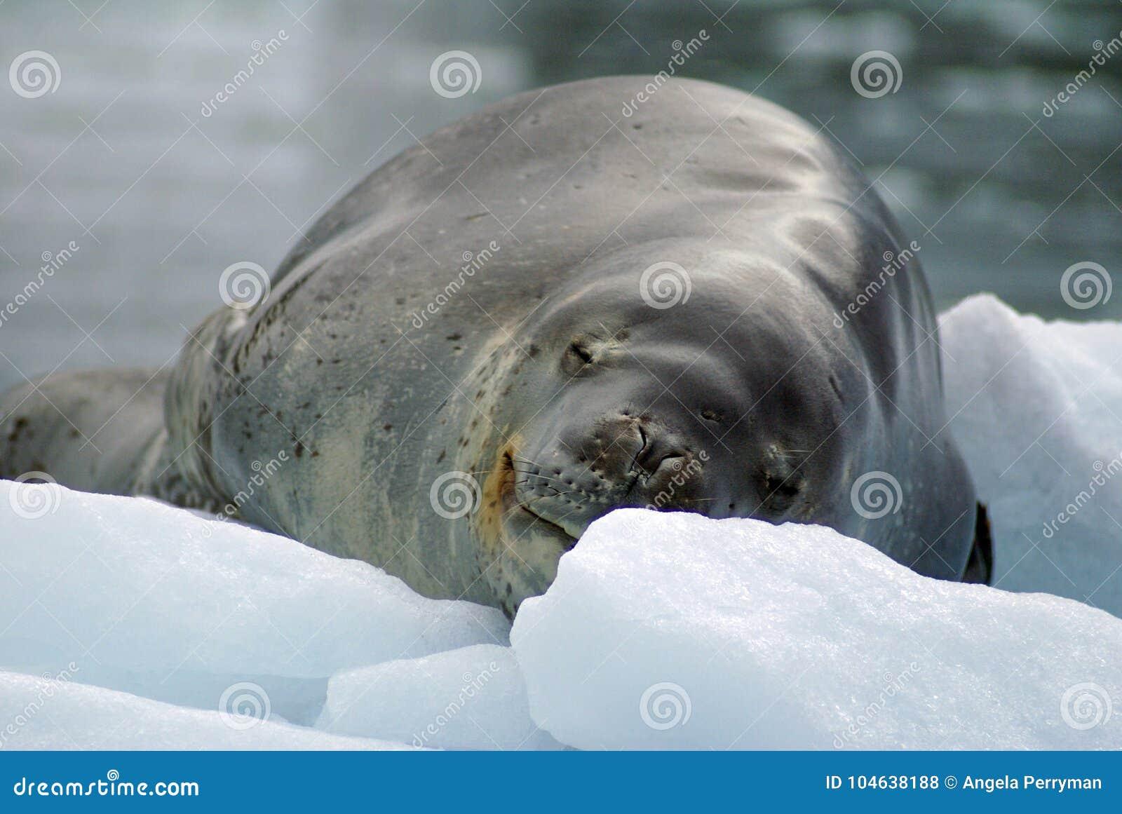 Download Luipaardverbinding Op Een Ijsberg Stock Foto - Afbeelding bestaande uit overzees, zoogdier: 104638188