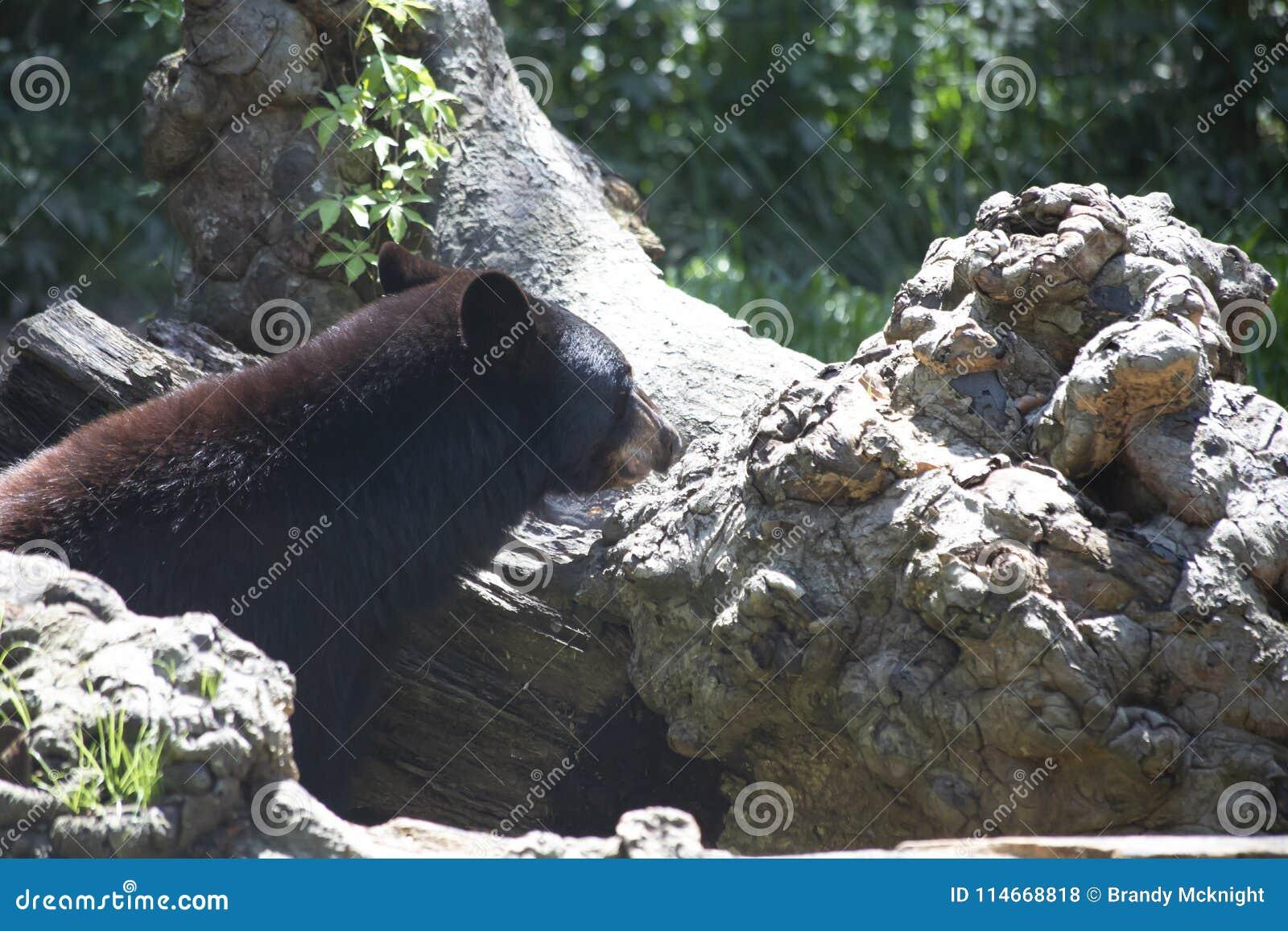 Luizjana Czarny niedźwiedź