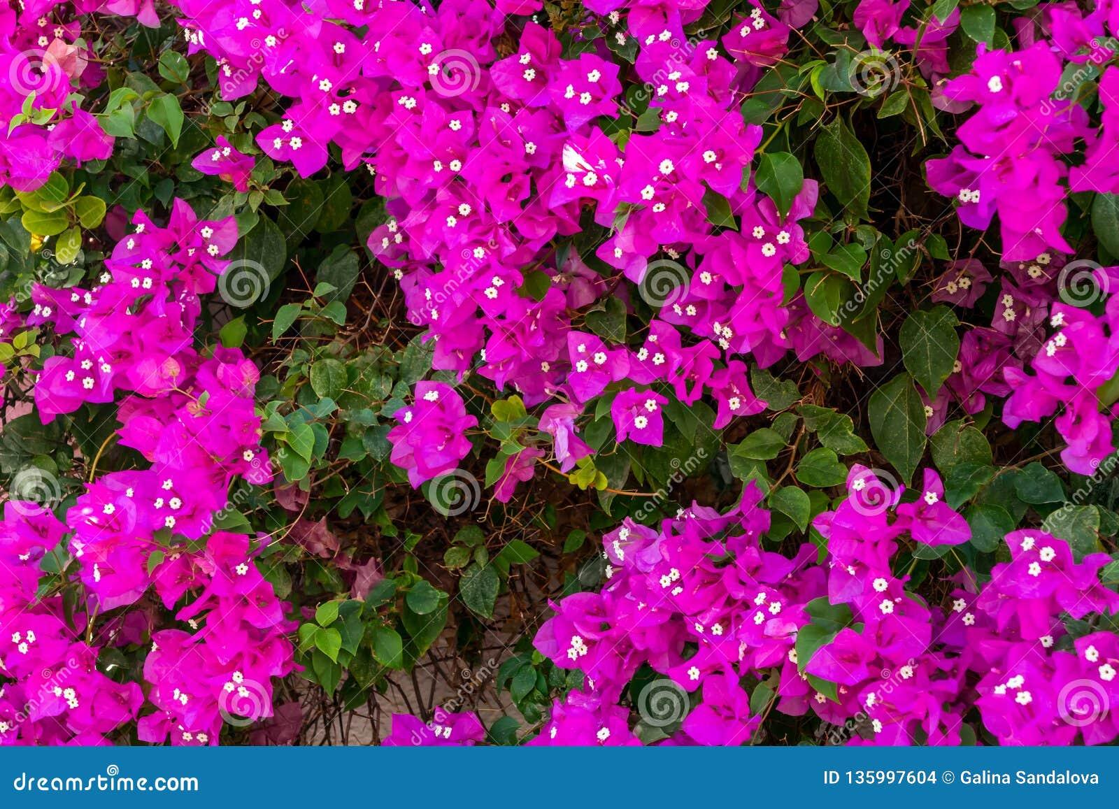 Luksusowy kwitnienie Bougenvillea pięcia roślina na ścianie dom w południowym kraju